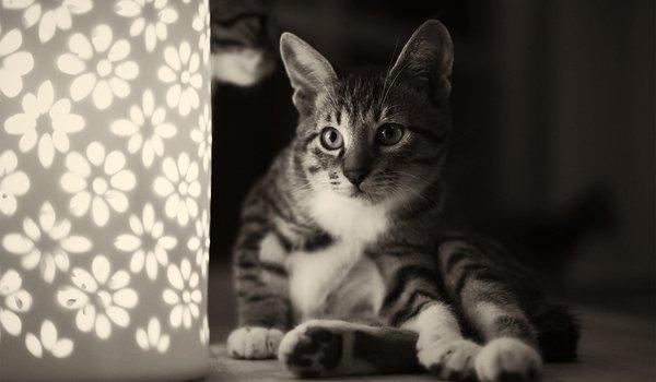 обои кот на темном фоне для рабочего стола