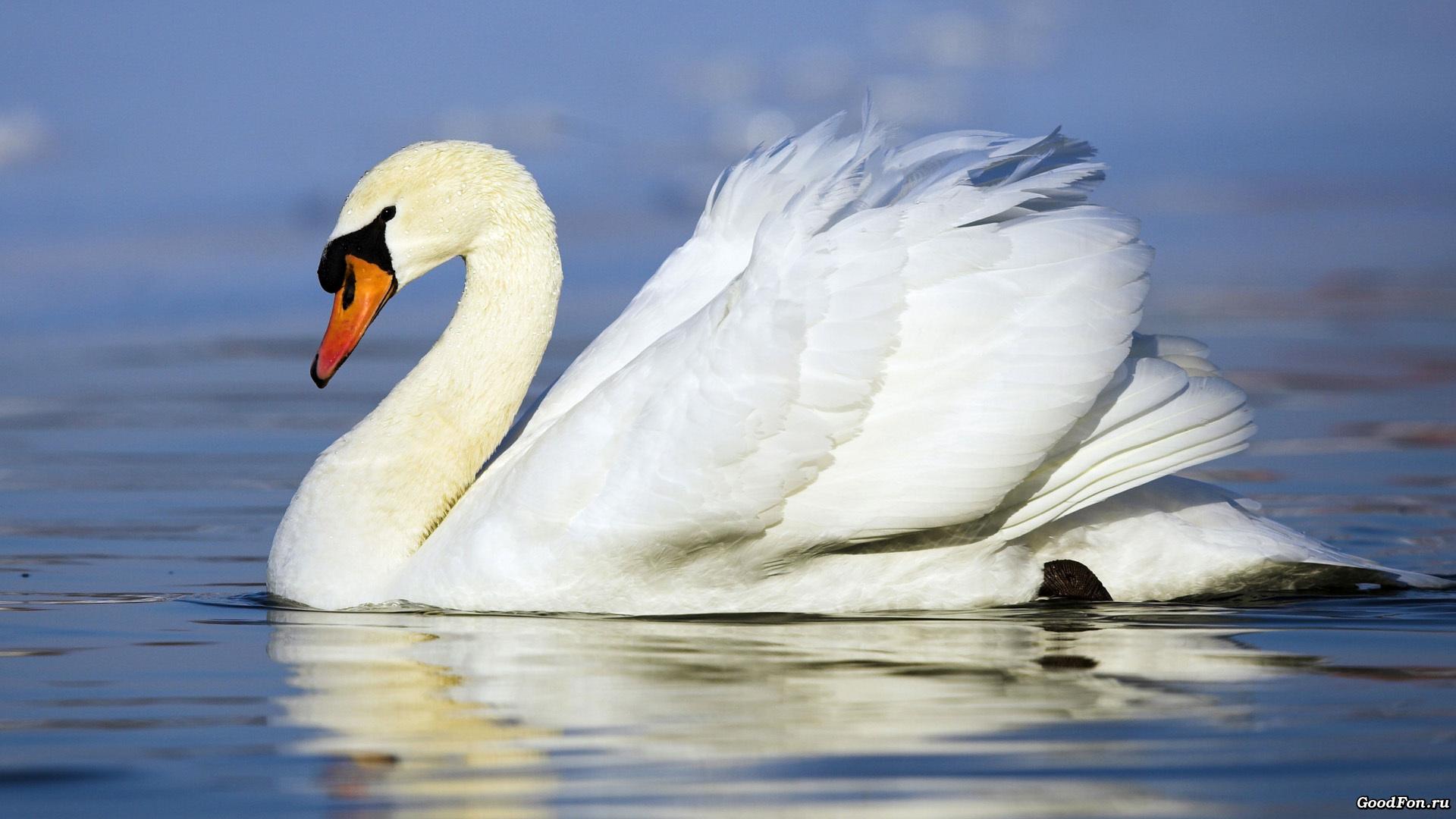 белый лебедь загрузить