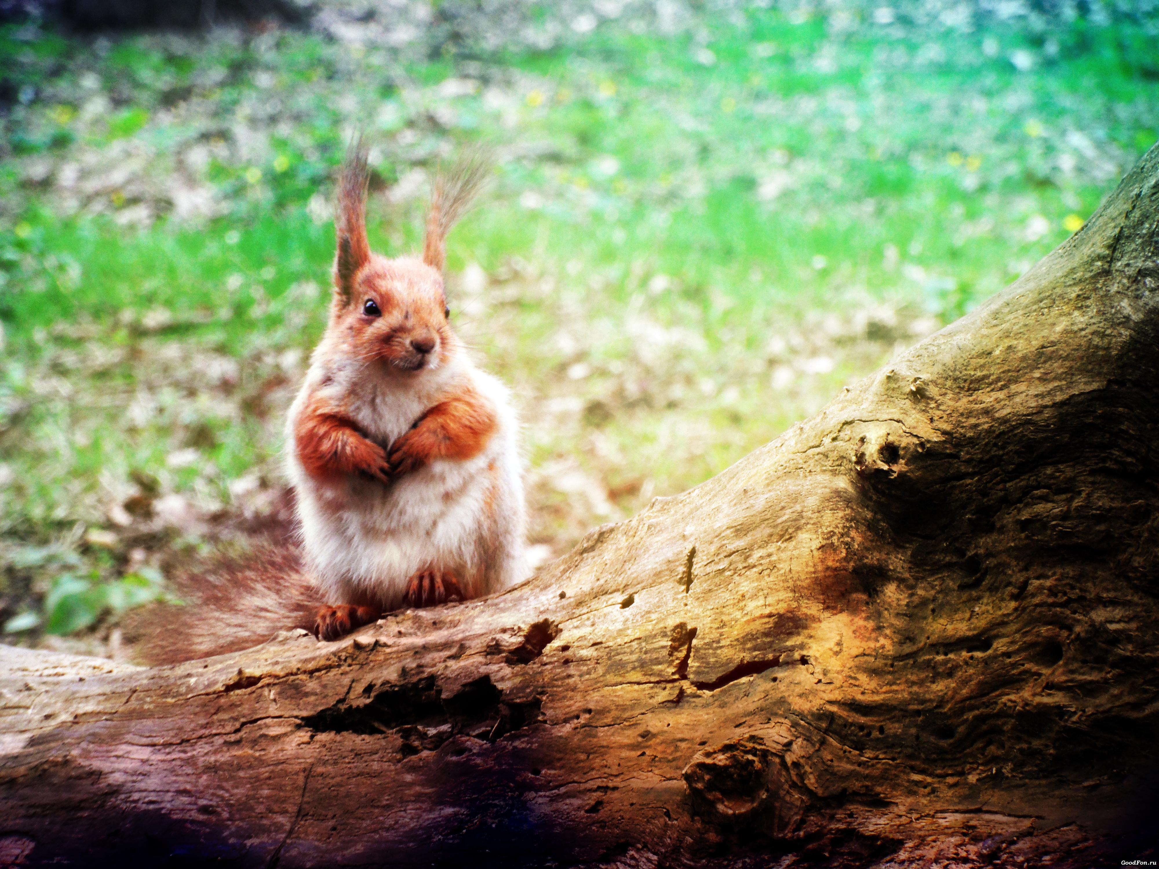 природа животное белка бесплатно