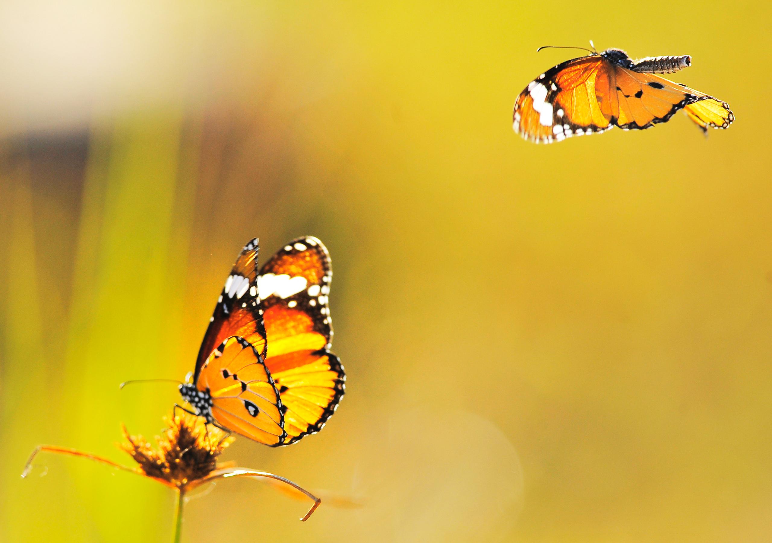 Желтая бабочка на оранжевых стеблях бесплатно