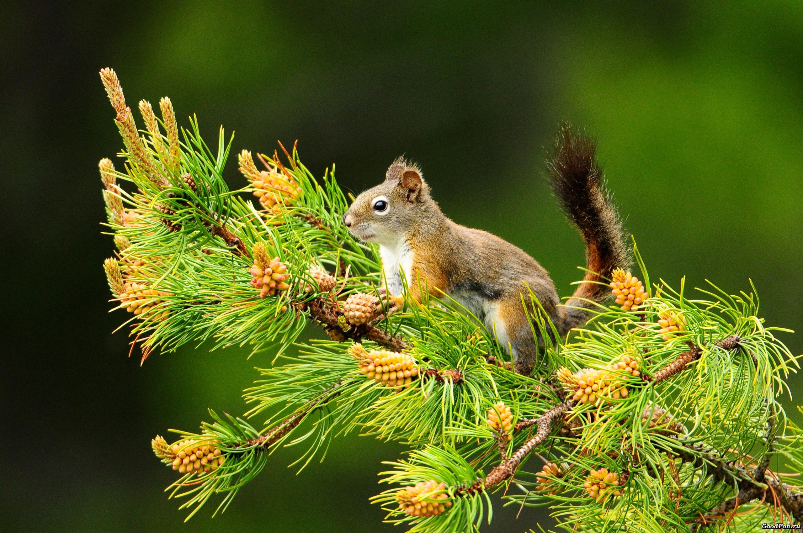 Белочка на ветке дерева бесплатно