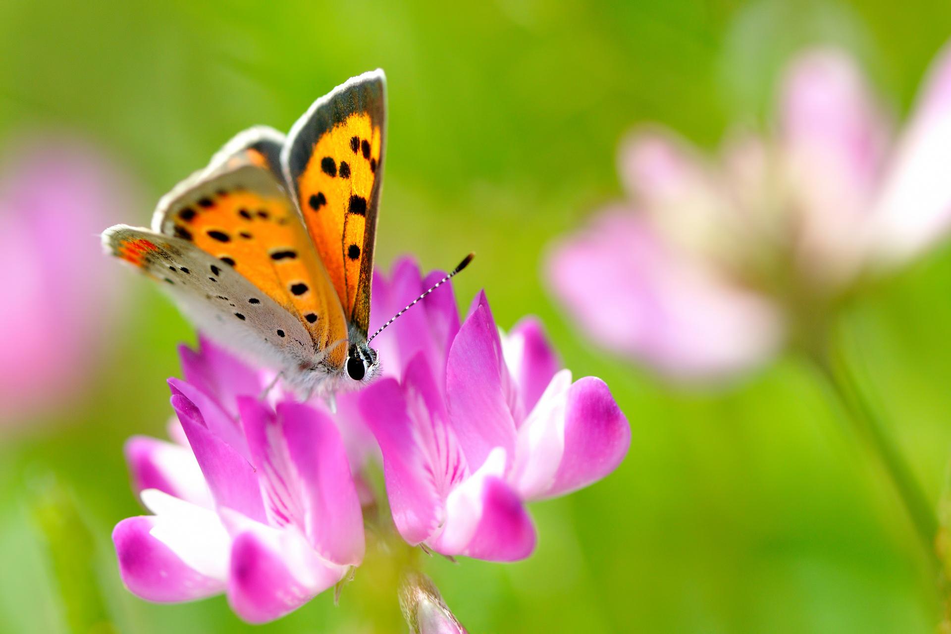 природа макро насекомое бабочка цветы скачать