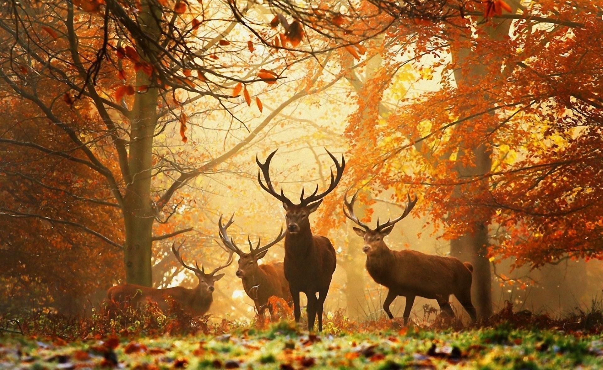 природа животные олени nature animals deer загрузить