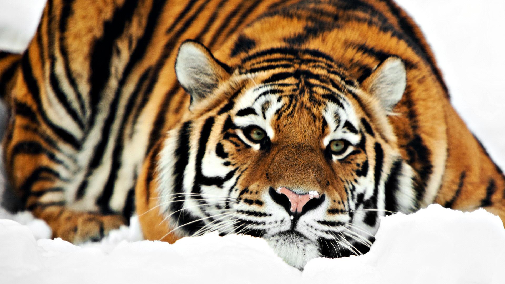 Тигр хвост загрузить