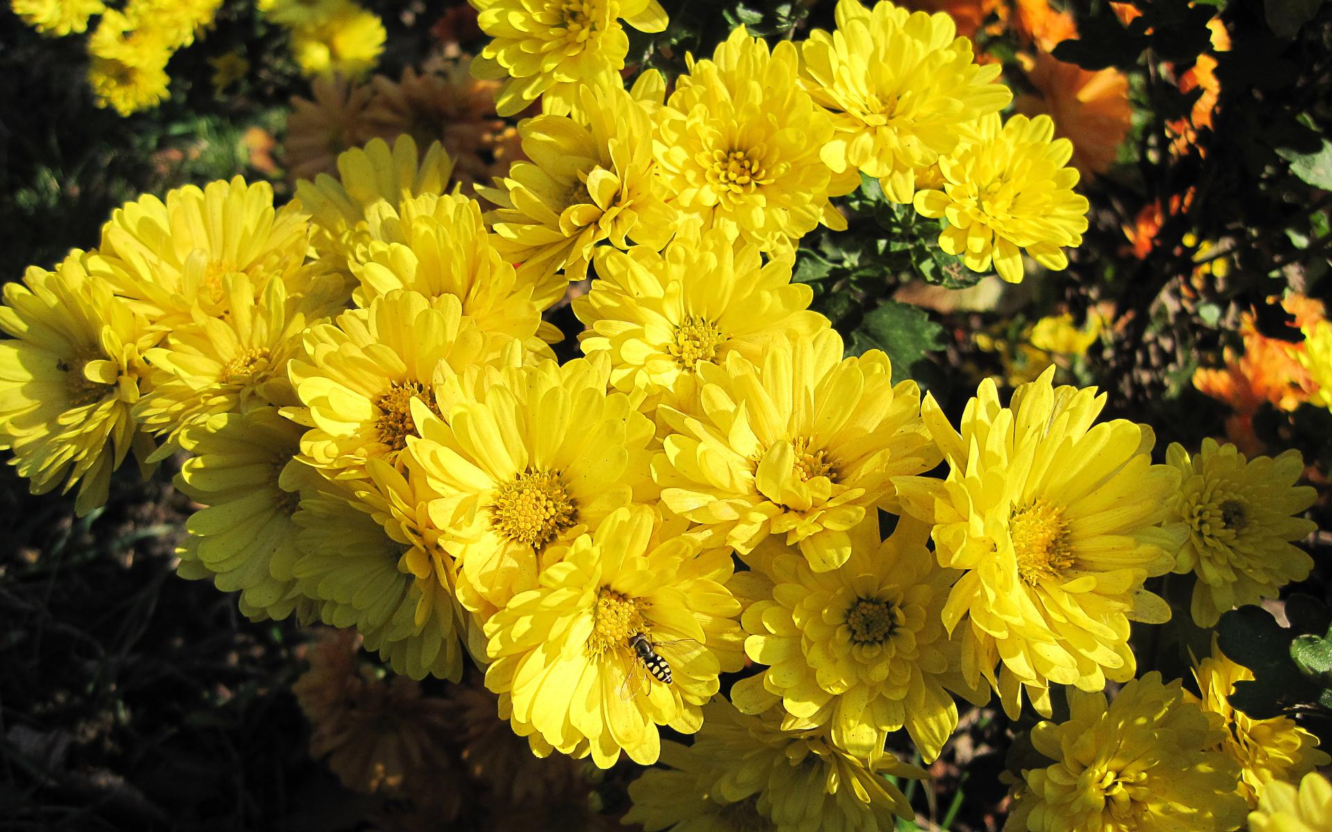 обои для рабочего стола осенние цветы хризантемы № 1155191  скачать
