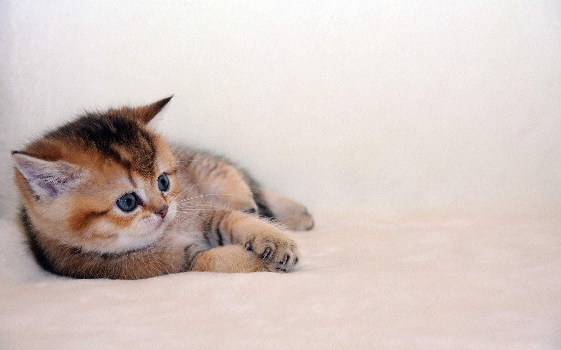 Голубоглазые кота  № 3010574  скачать