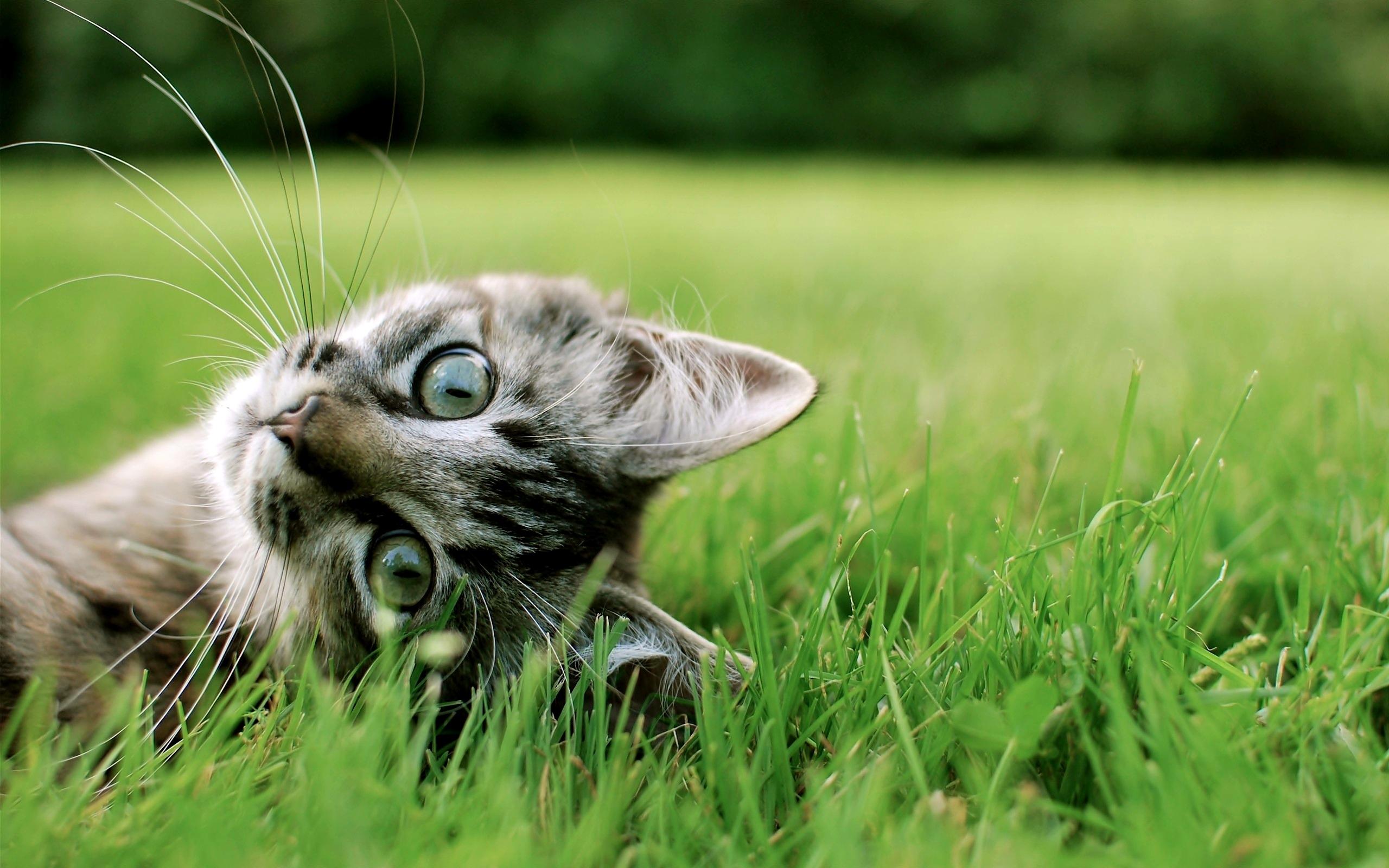 Дымчатый кот в траве загрузить