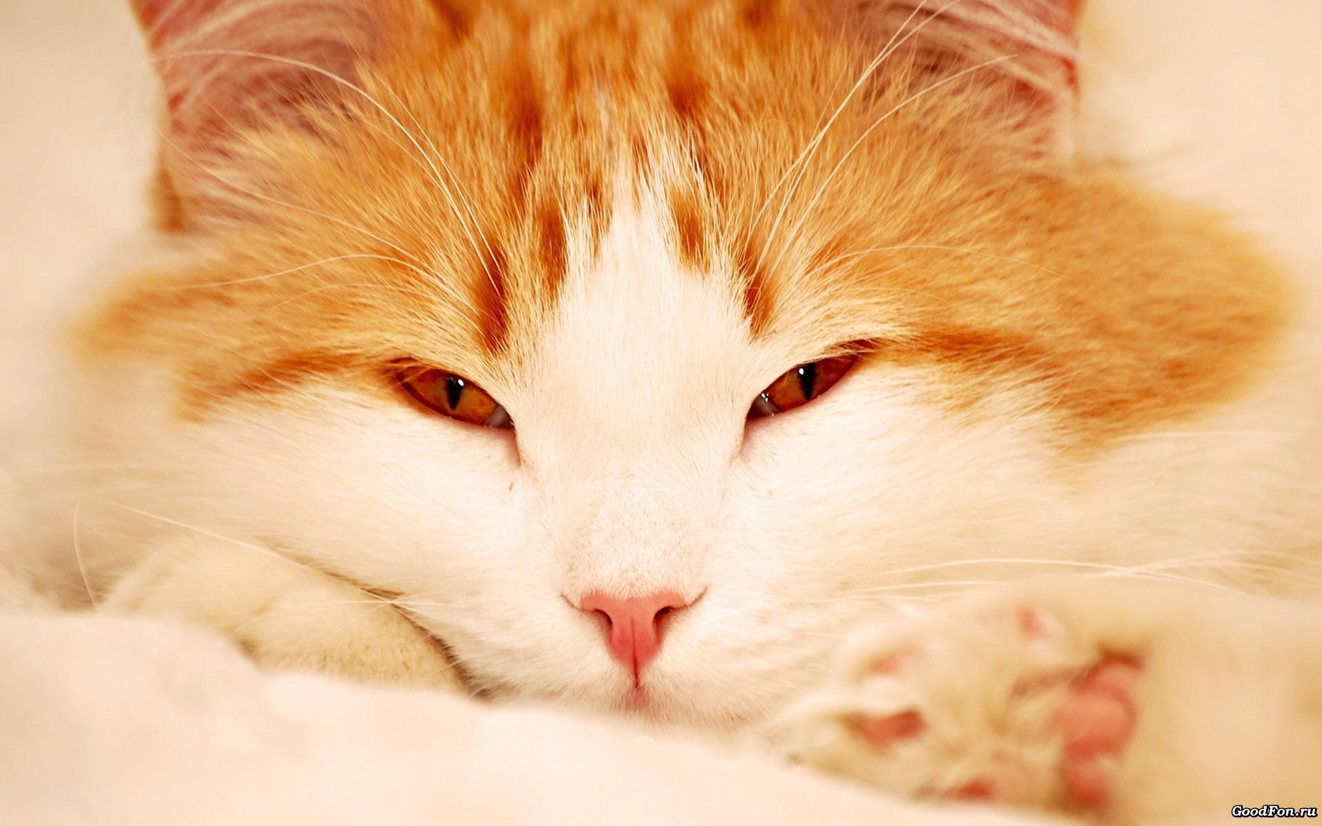 Рыжий грустный кот бесплатно