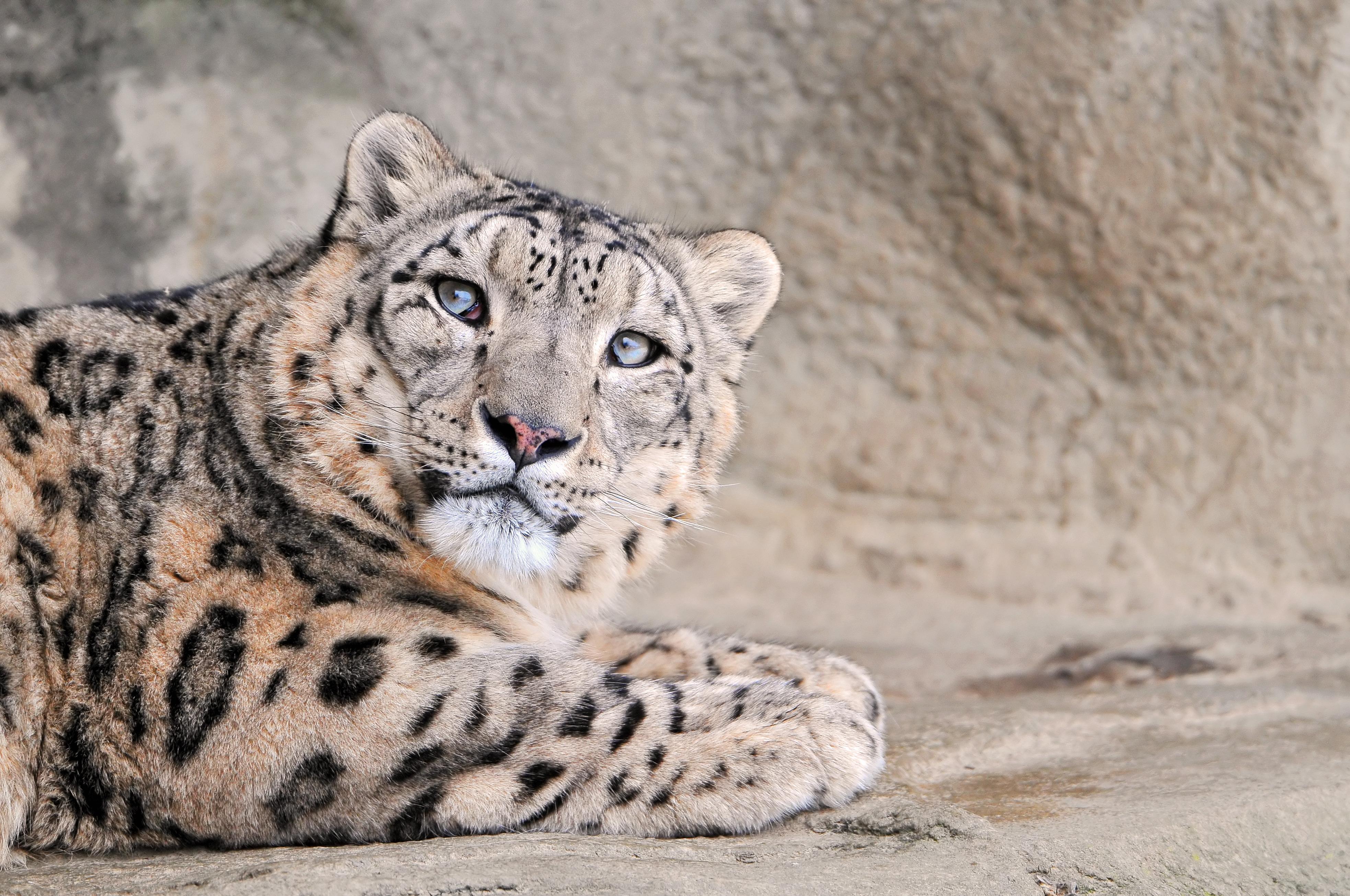 животные снежный леопард бесплатно