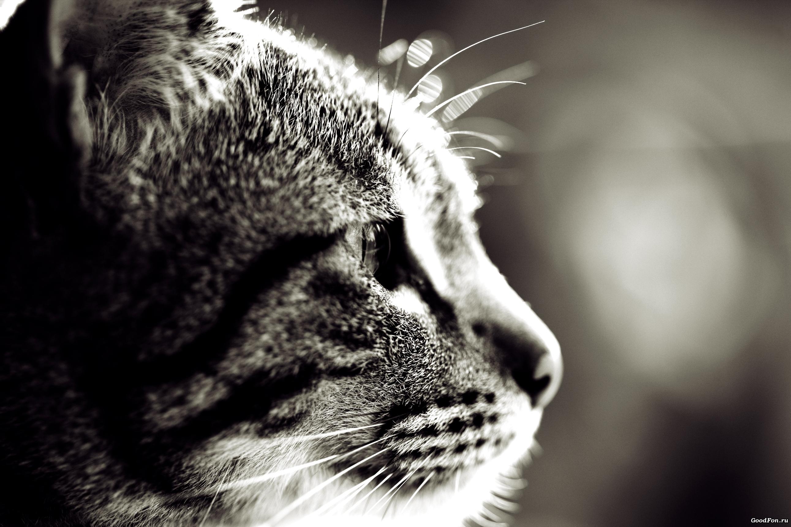 кошка глаза шерсть  № 1963664 загрузить