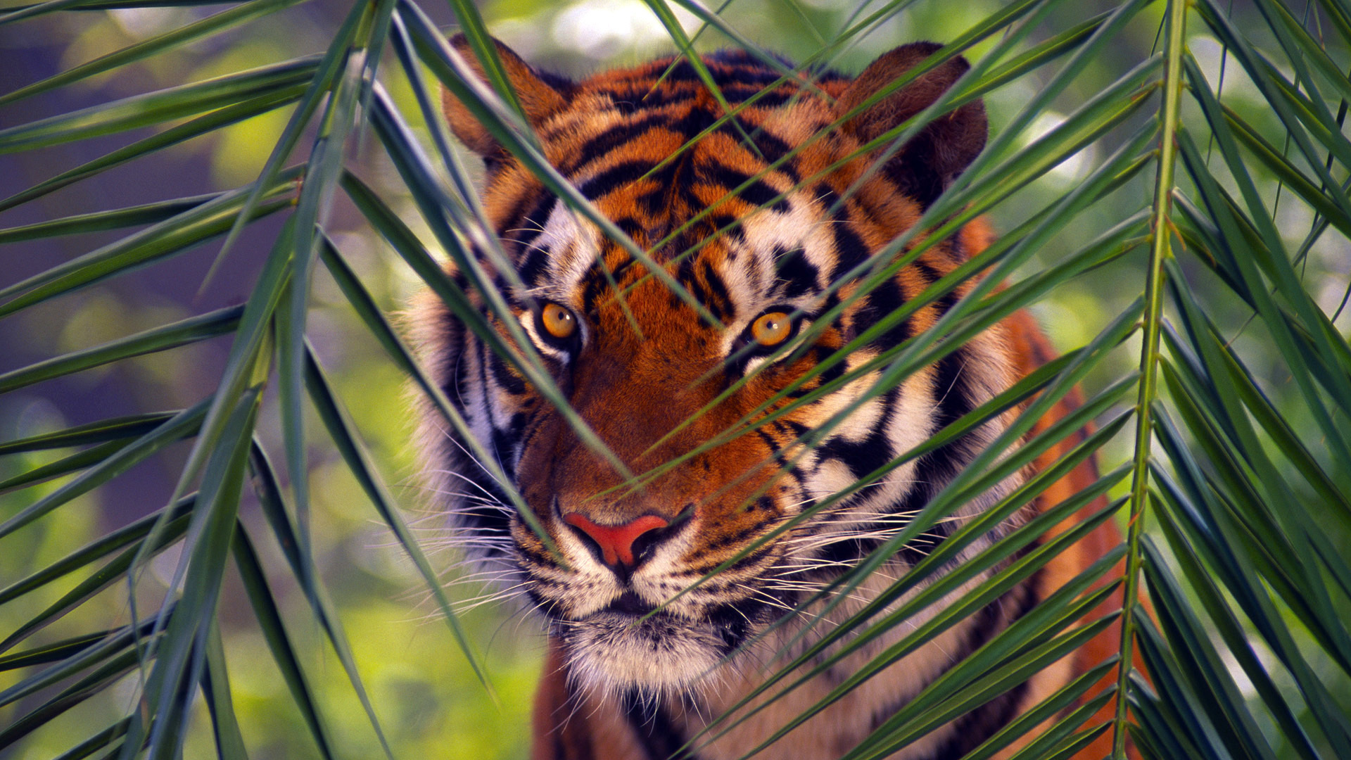 Тигр под пальмой тигр взгляд вверх  № 2081259 загрузить