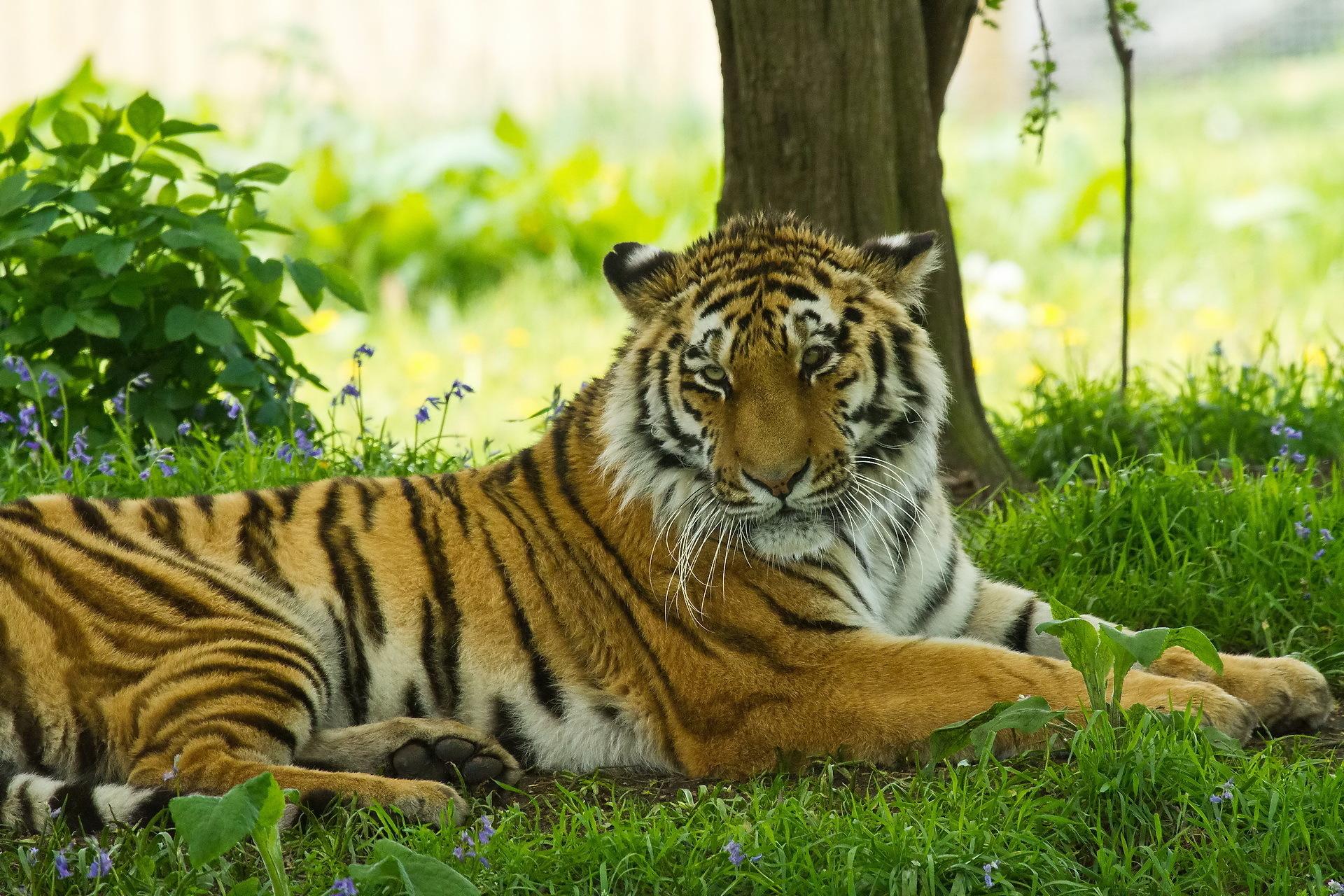тигры трава природа загрузить