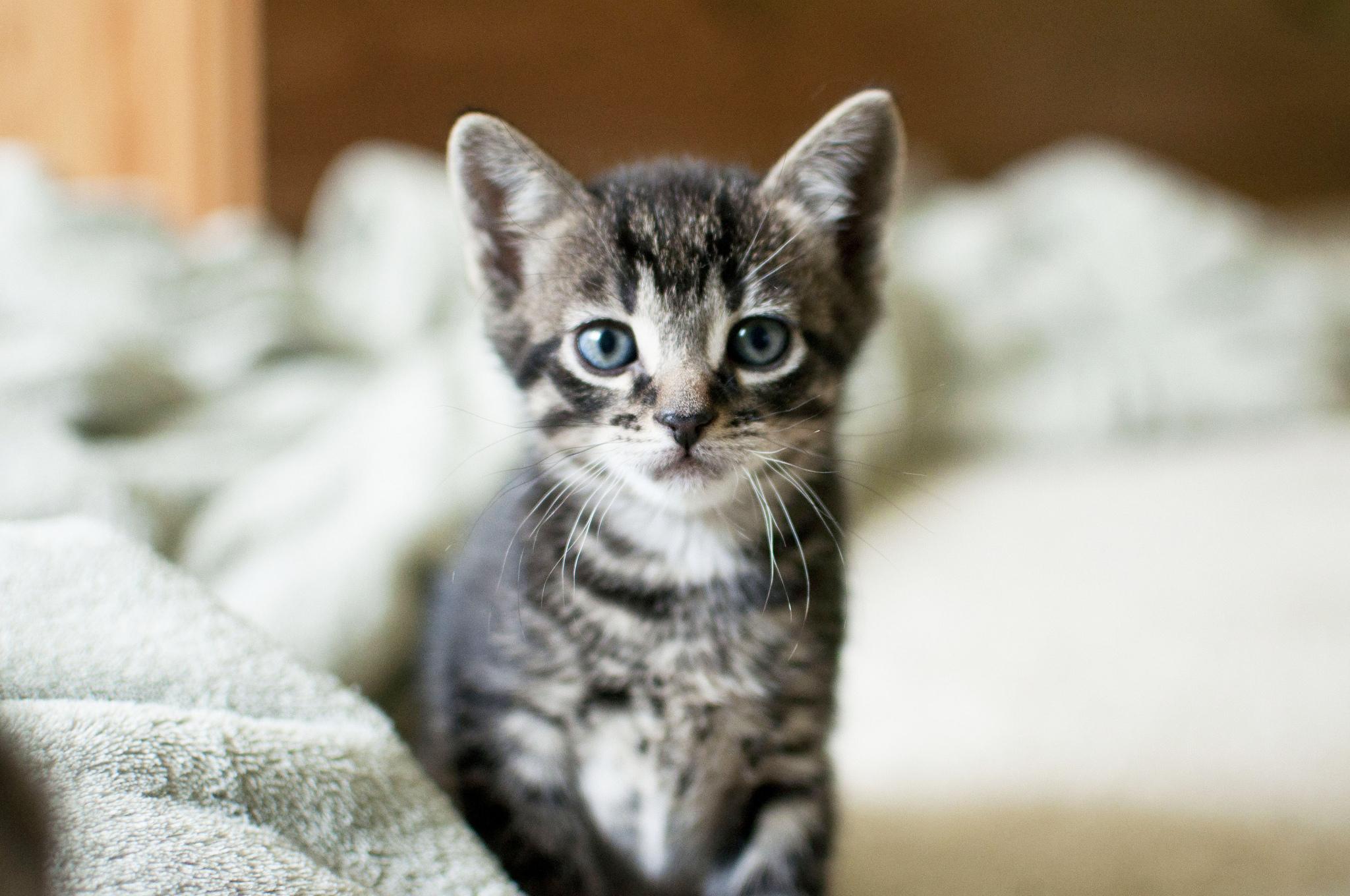 котенок дымчатый kitten smoky  № 2344502 загрузить
