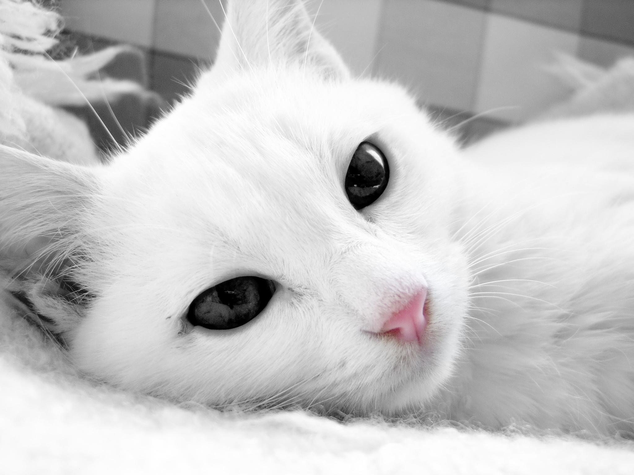 обои на рабочий стол белая кошка с голубыми глазами № 186099 бесплатно