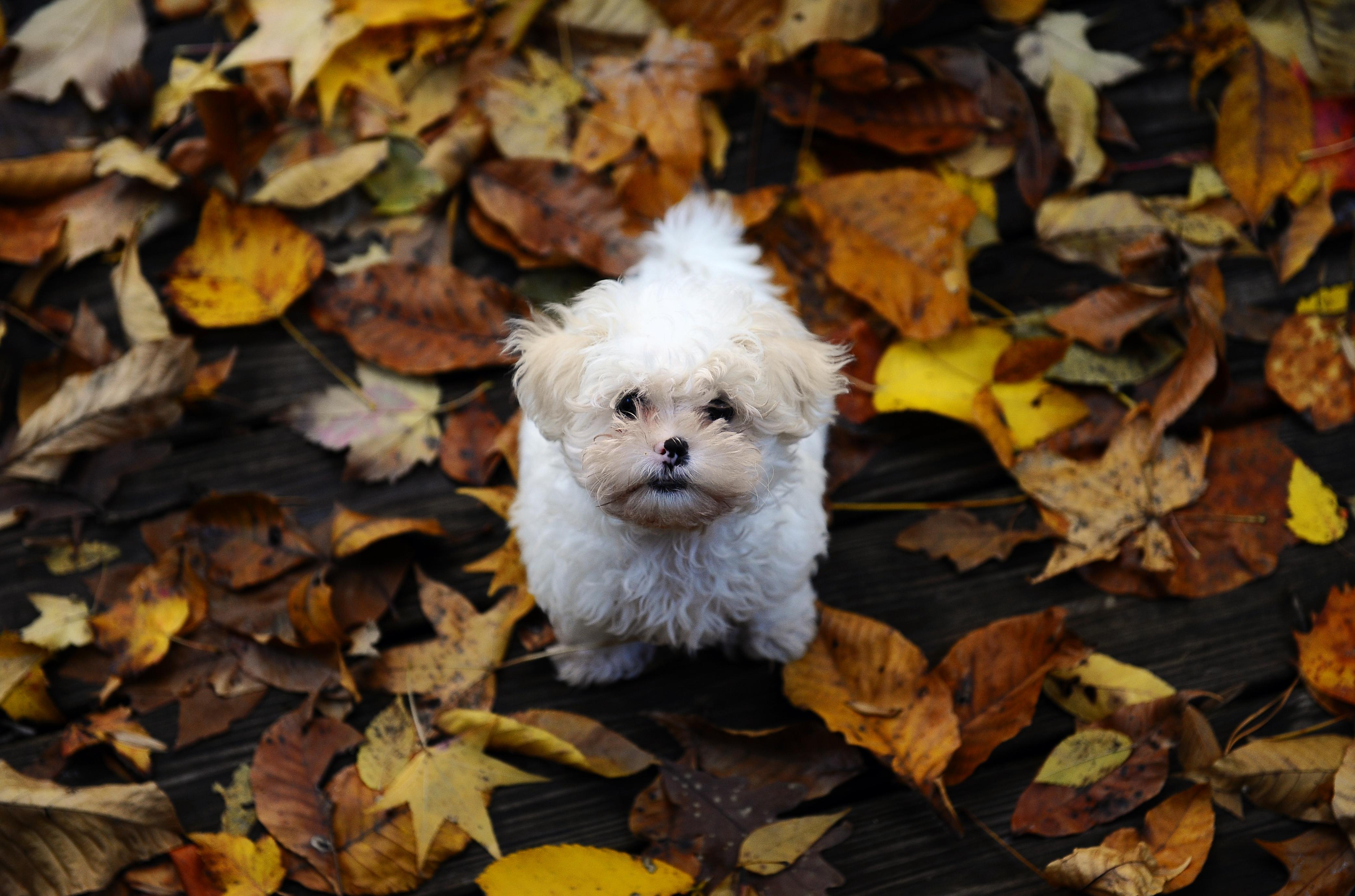 природа животные собака осень листья  № 2019499 бесплатно