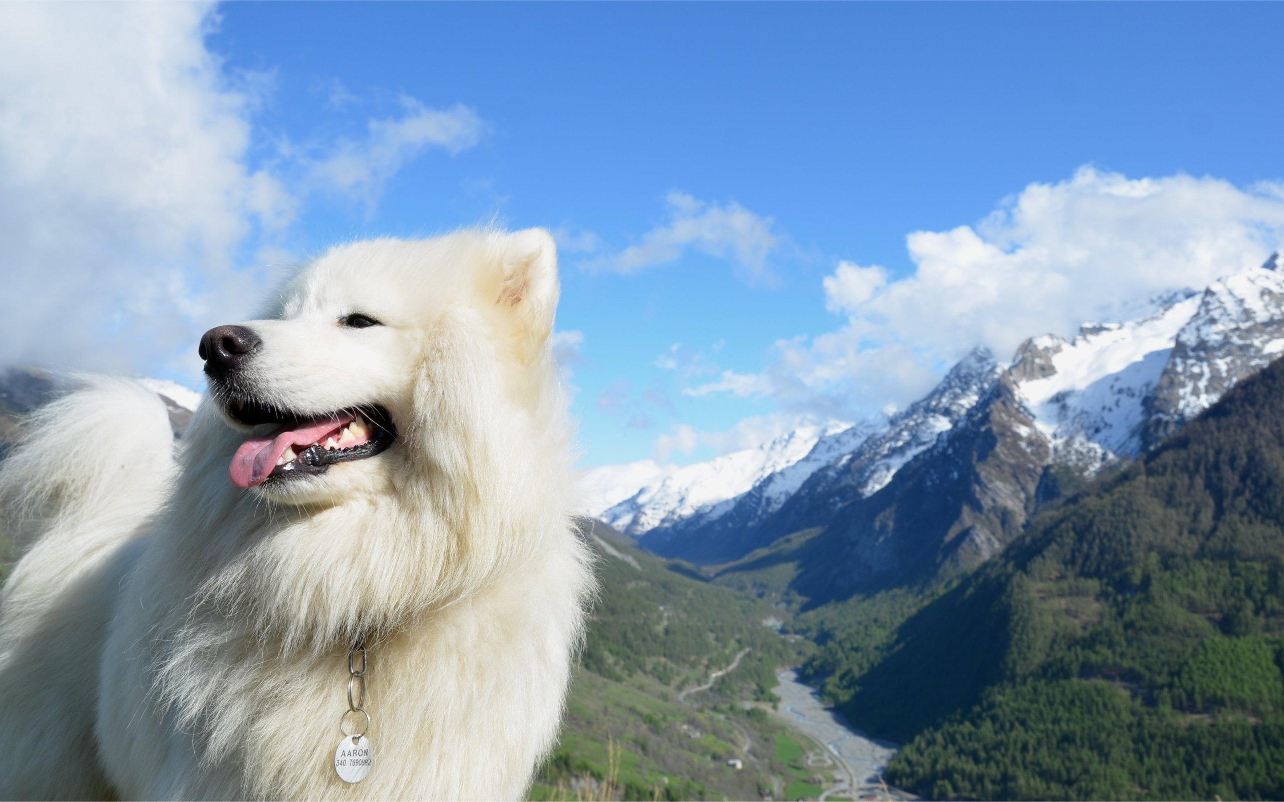 белый щенок самоед скачать