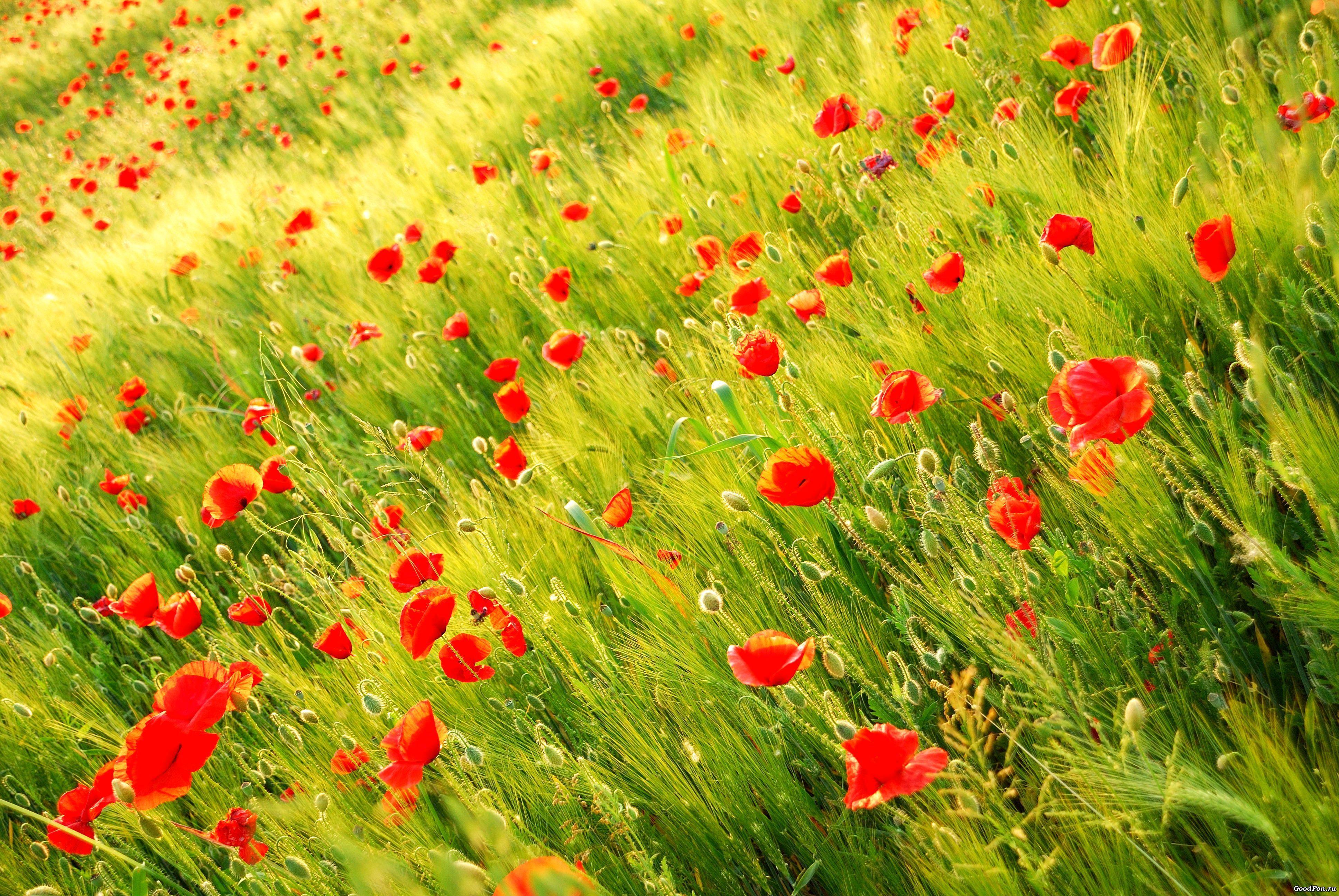 мак трава поляна Mac grass glade загрузить