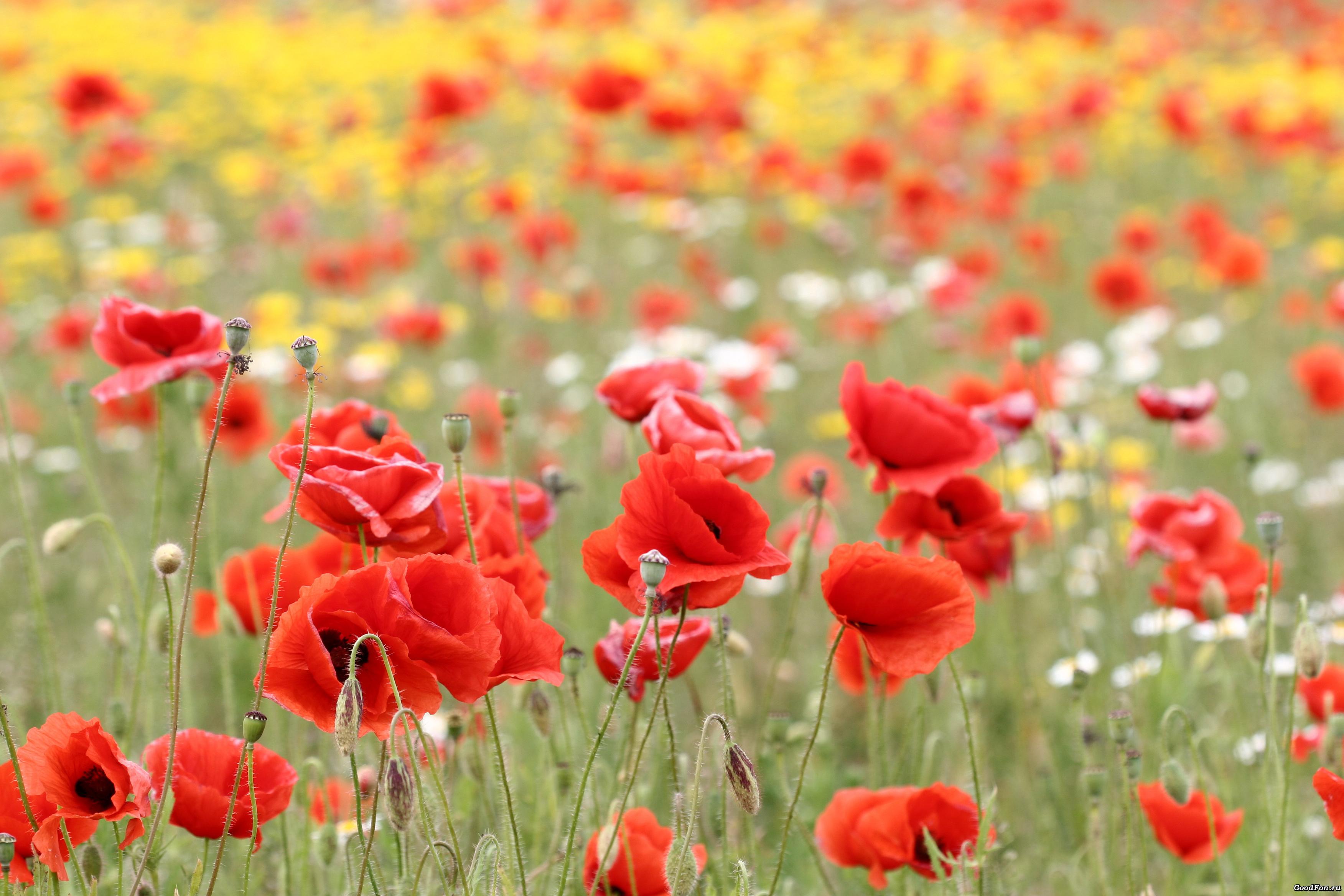 поле маки цветы  № 1877353 бесплатно