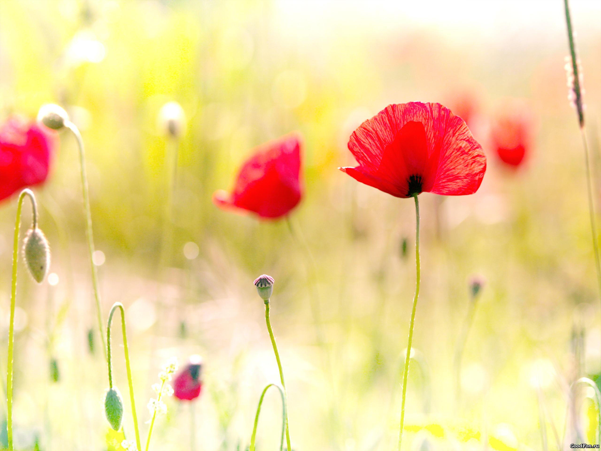 поле маки цветы  № 1877305 бесплатно
