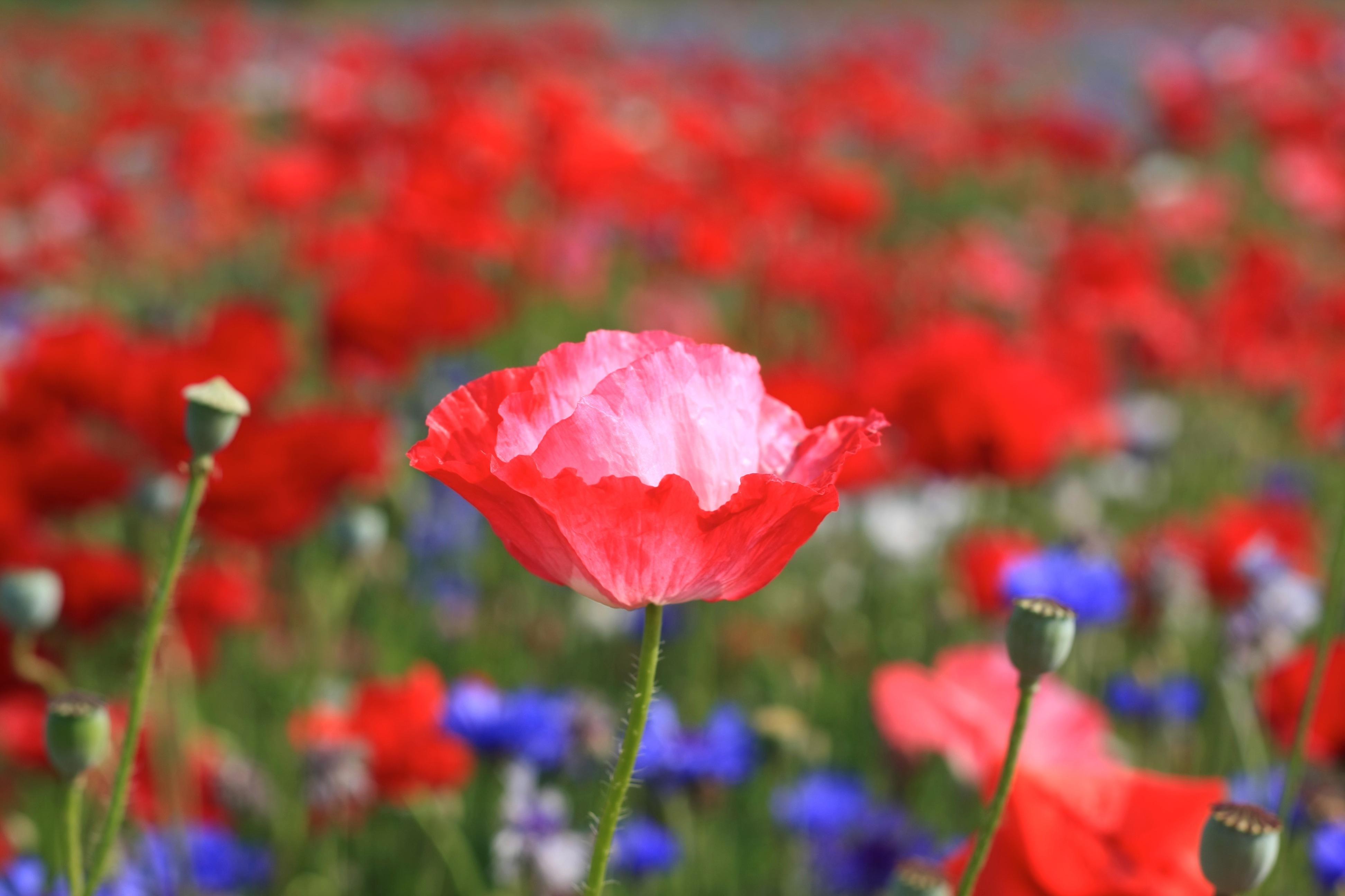 природа цветы синие красные бесплатно