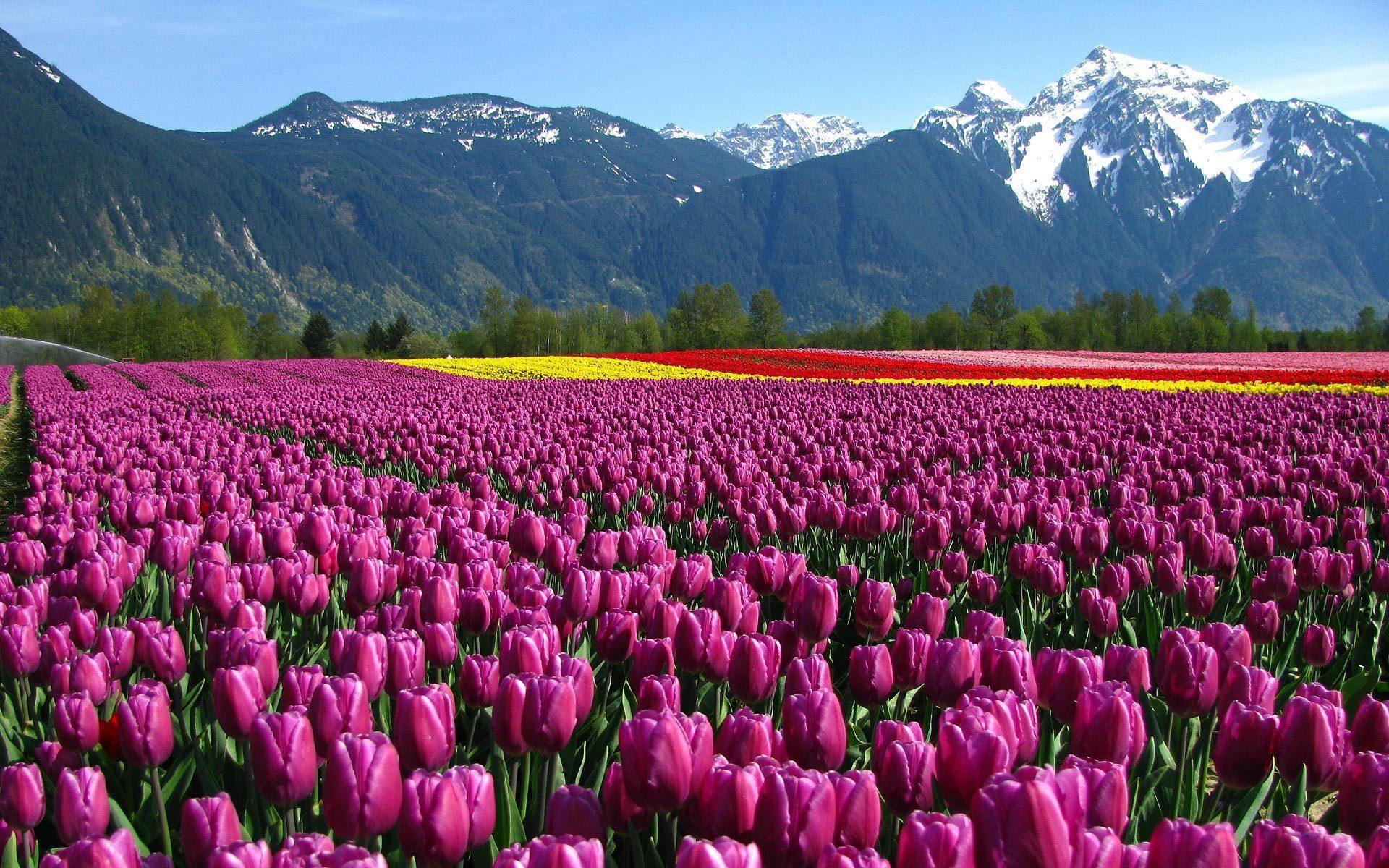 Тюльпаны среди деревьев бесплатно