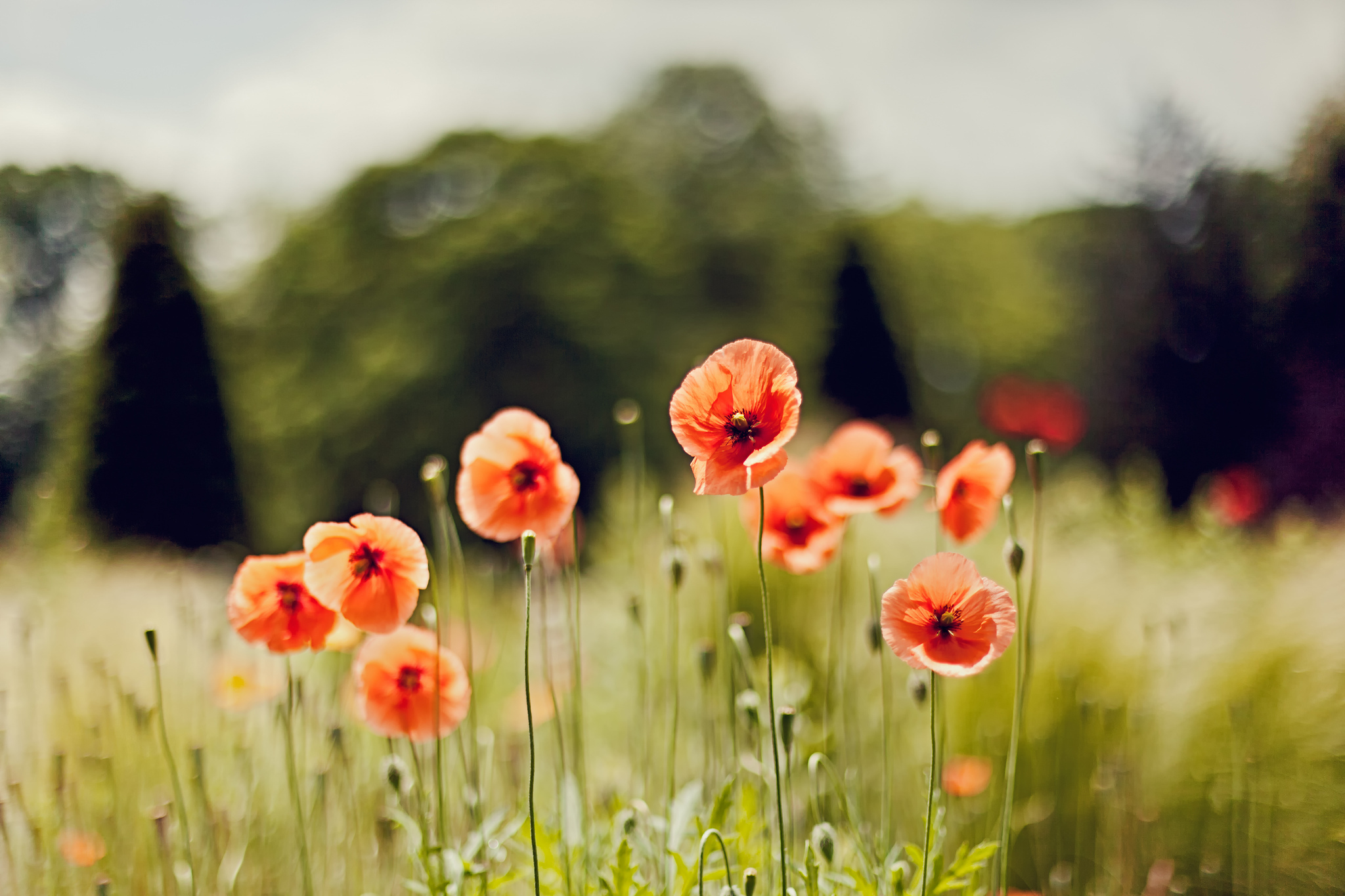 поле маки цветы  № 1877313 загрузить