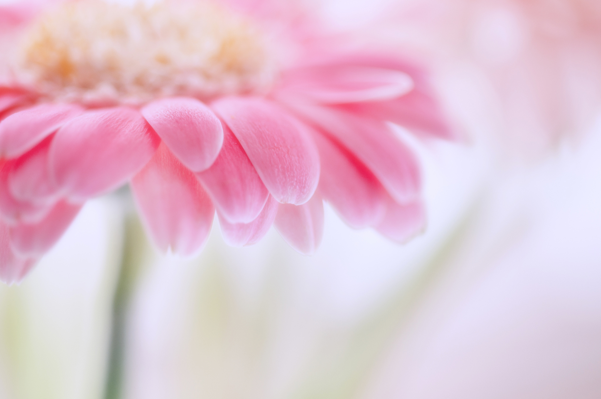 цветы макро розовые  № 1347149 бесплатно