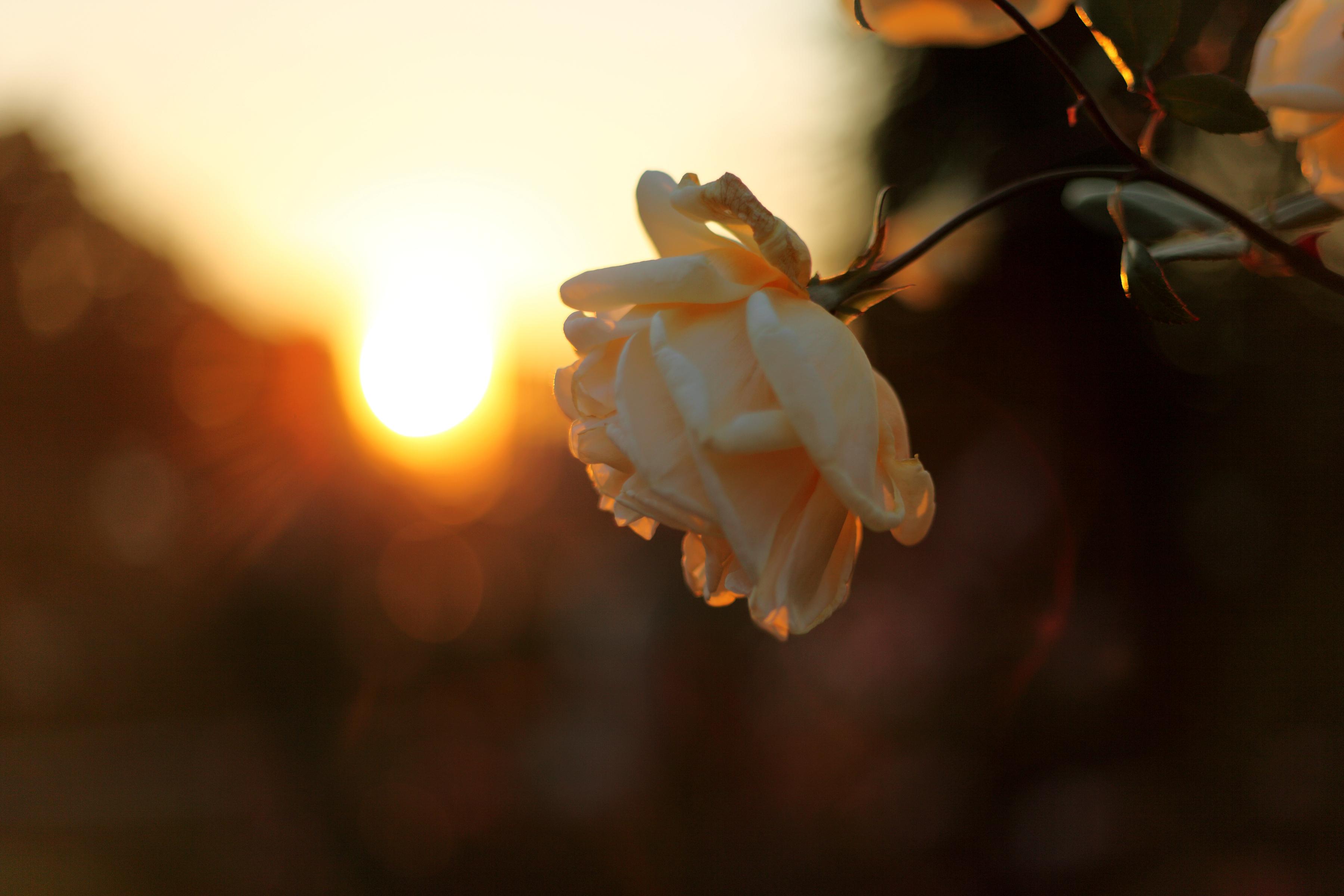 одинокий цветочек на закате бесплатно