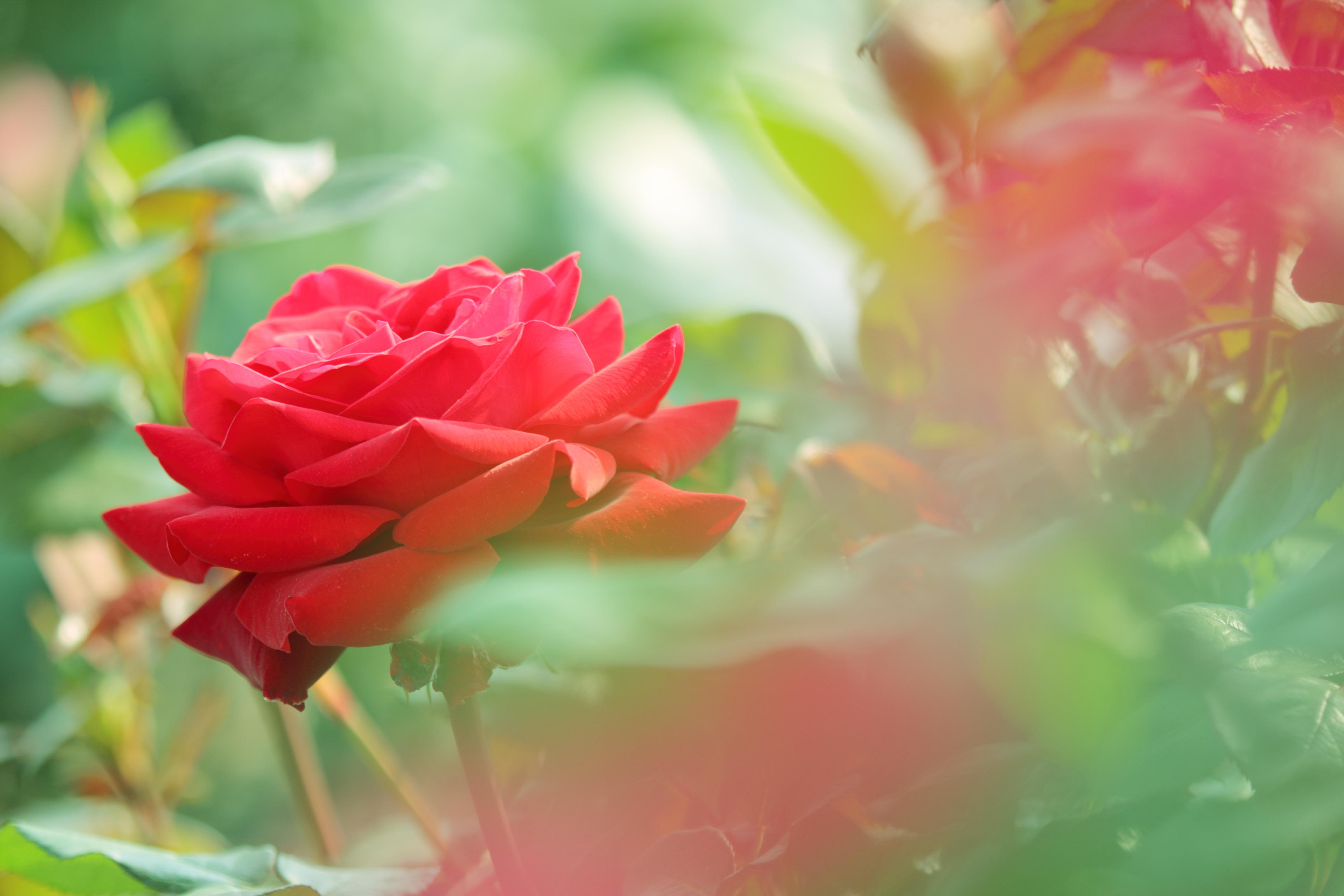 роза, лепестки, листья скачать