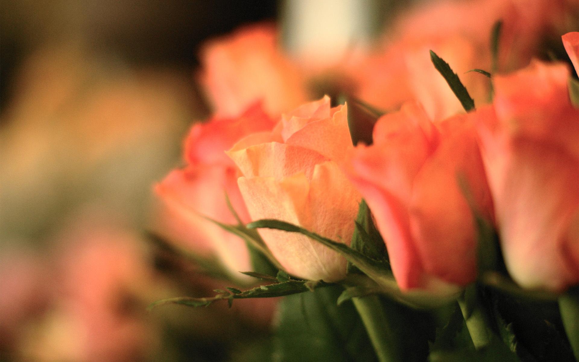 розовые розы обои на рабочий стол в высоком качестве № 130088 без смс