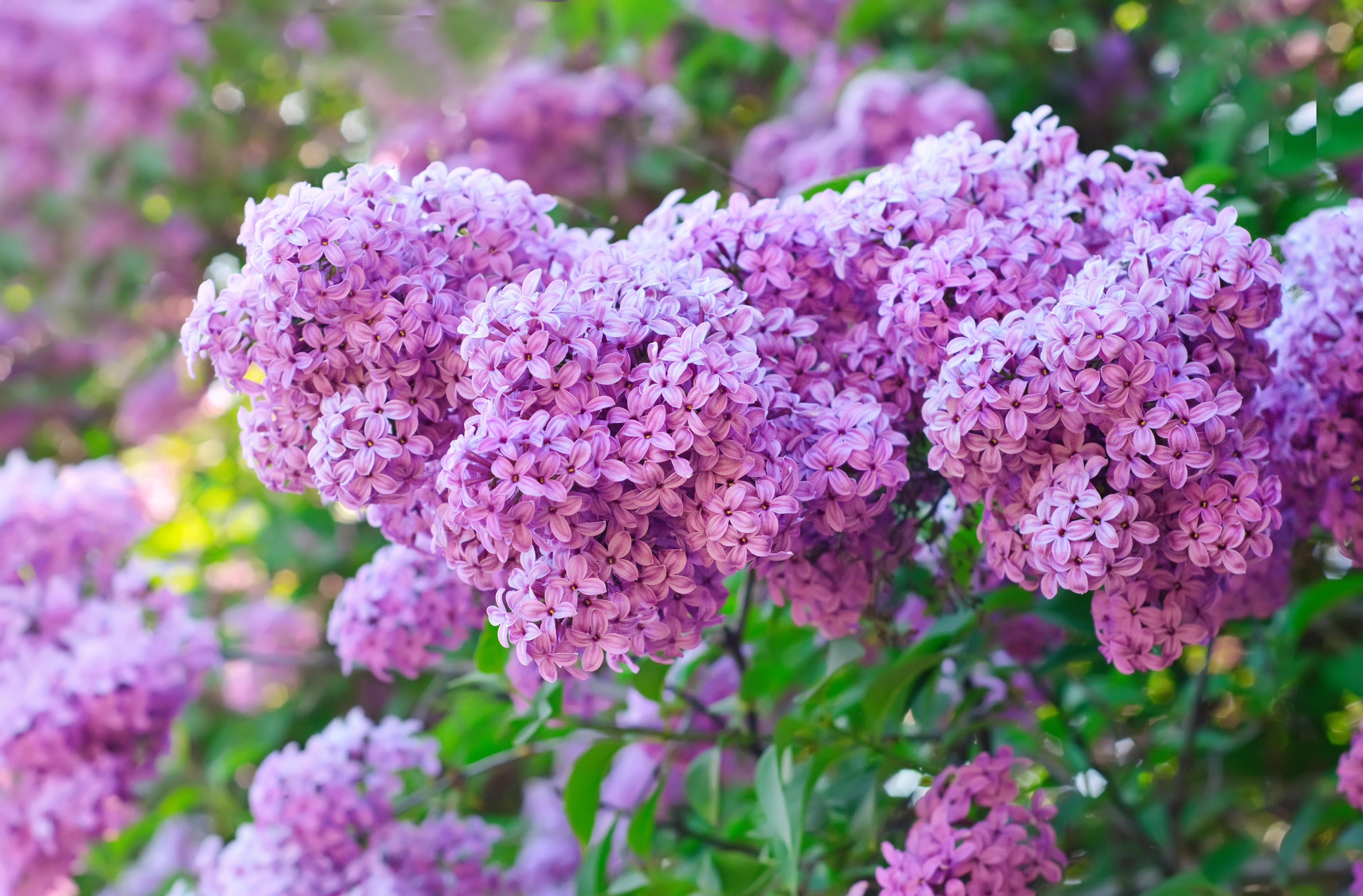 цветы природа сирень  № 2224172 бесплатно
