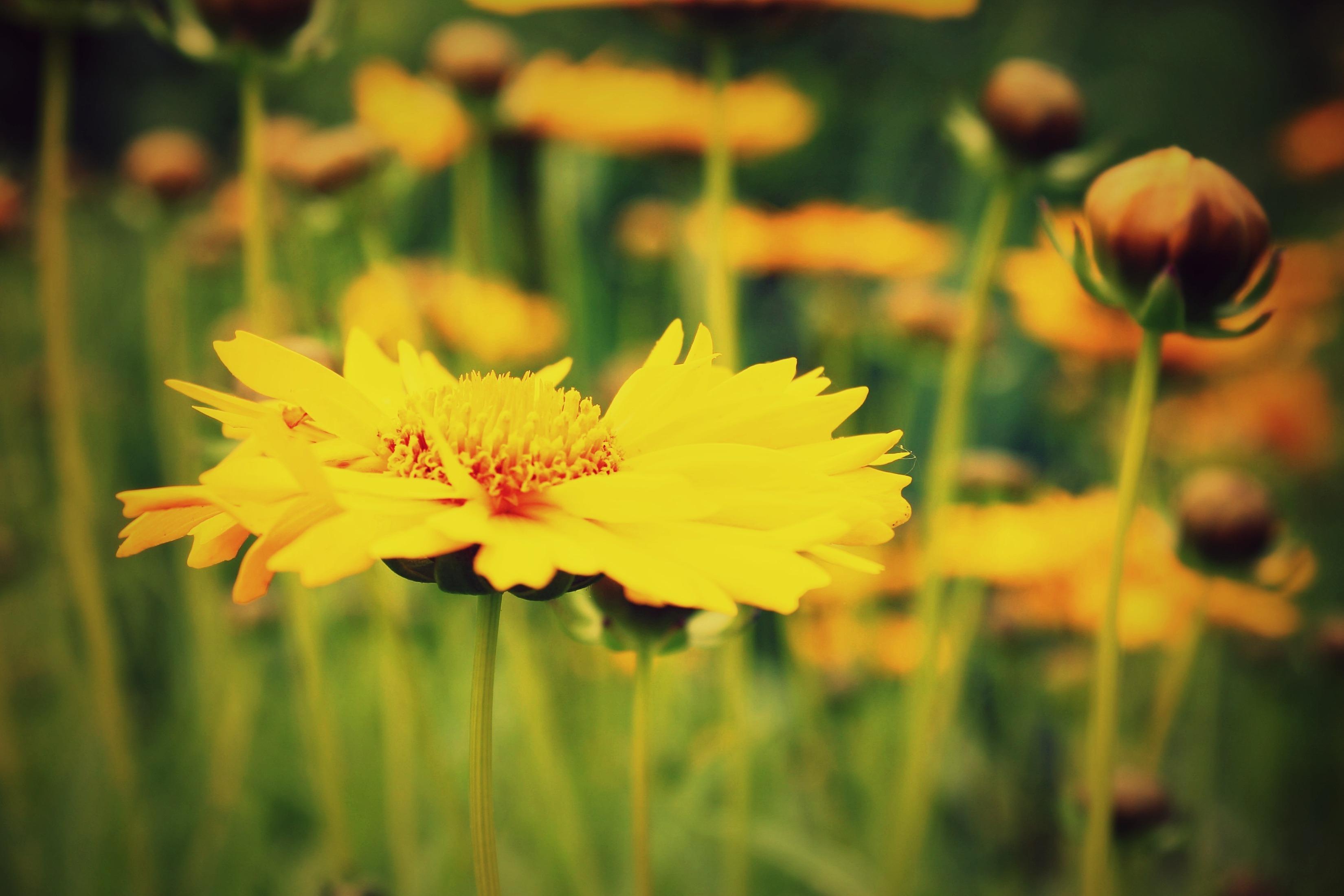 Желтые ромашки цветы желтые цветы размытость  № 3830997  скачать