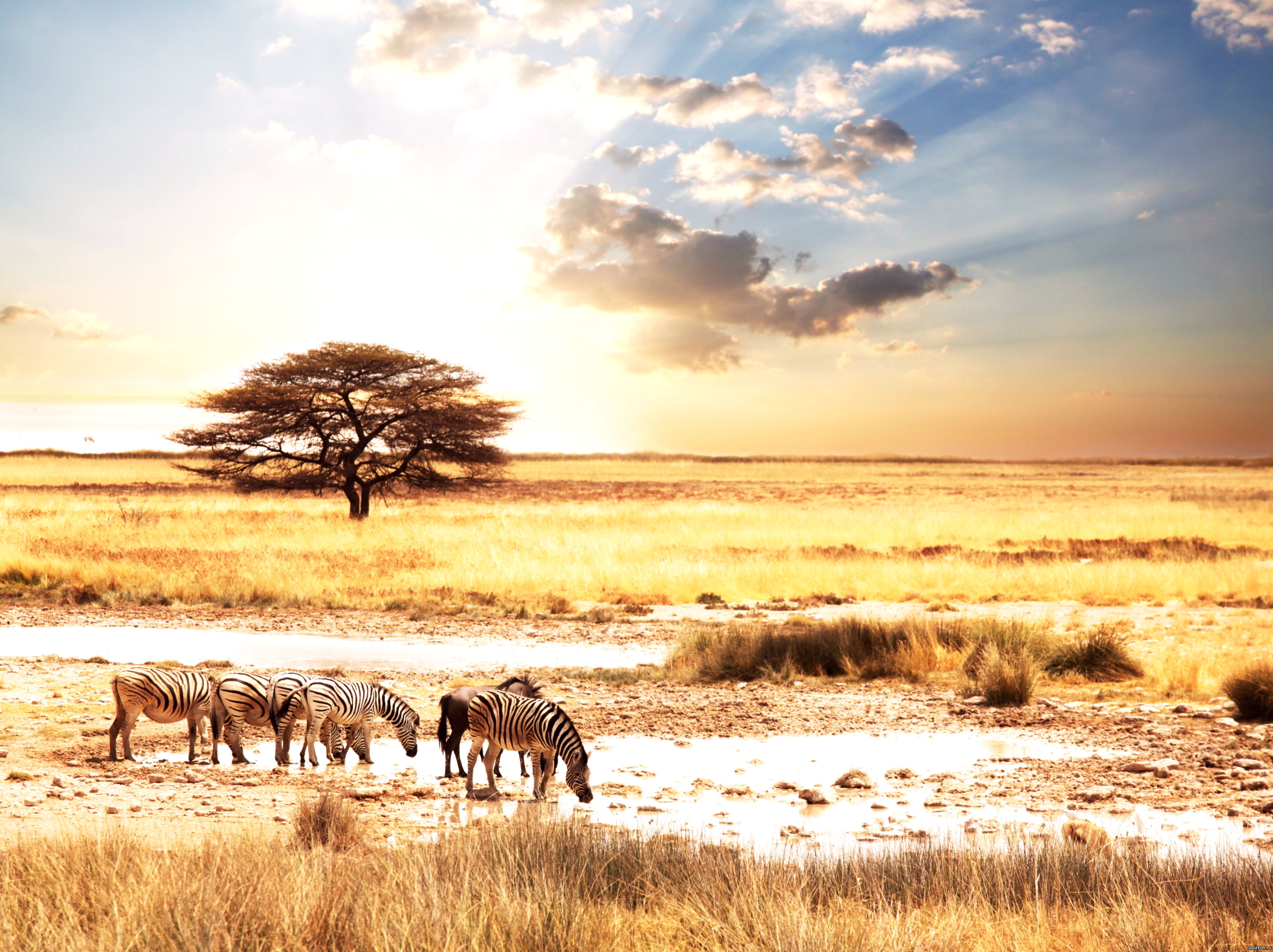 природа животные Гепарды камни трава дерево горизонт  № 276724  скачать