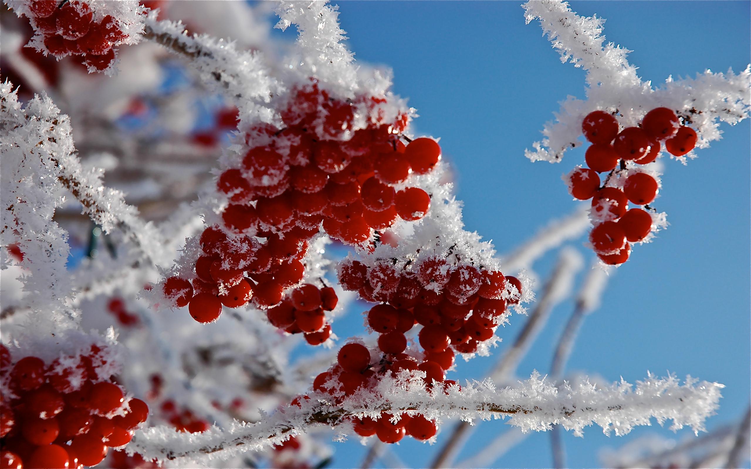 природа мороз рябина зима ветки еда ягоды  № 457120 бесплатно