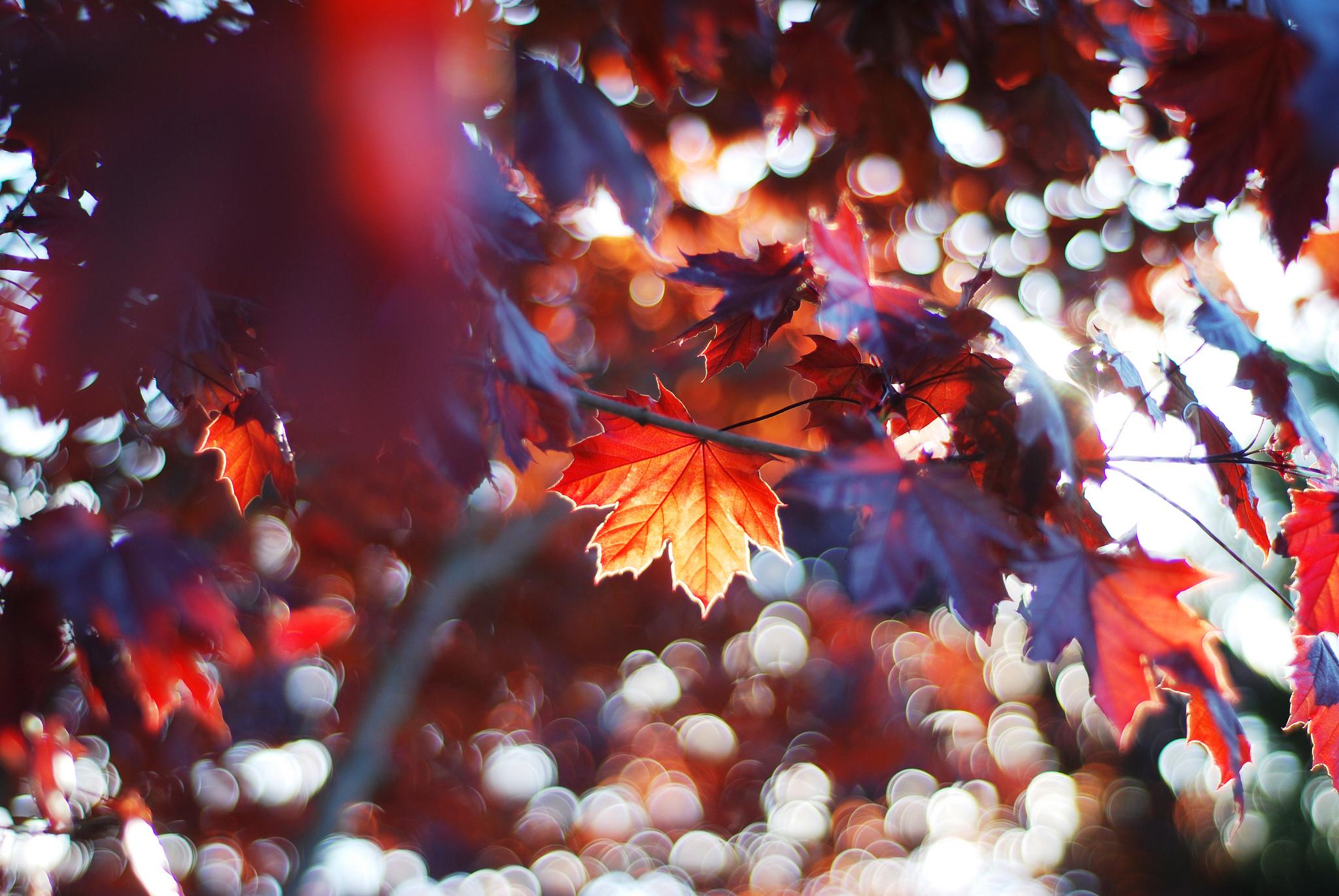 кленовый листья осень макро бесплатно