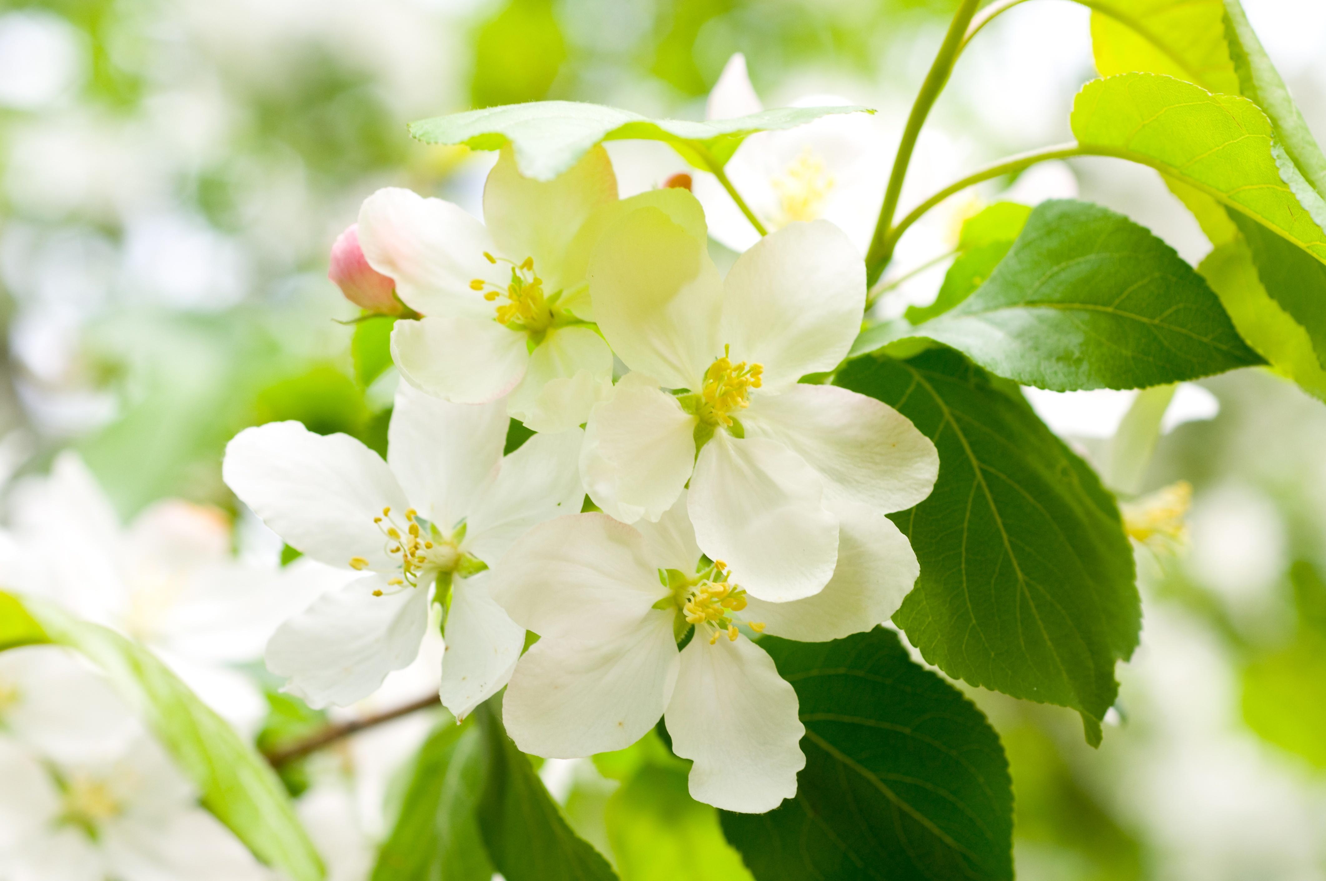 природа цветы белый весна без смс