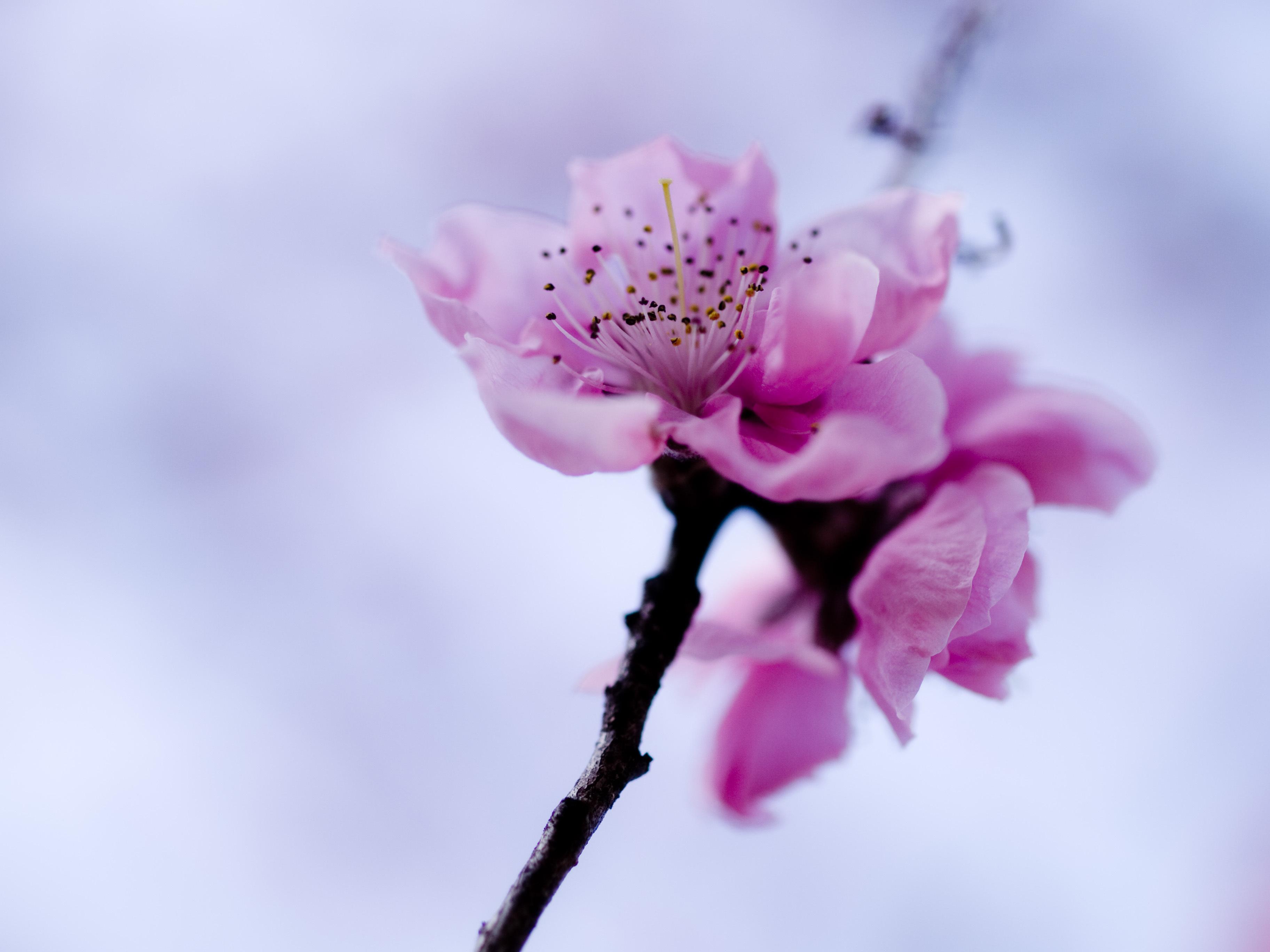 Цветы ветка бесплатно