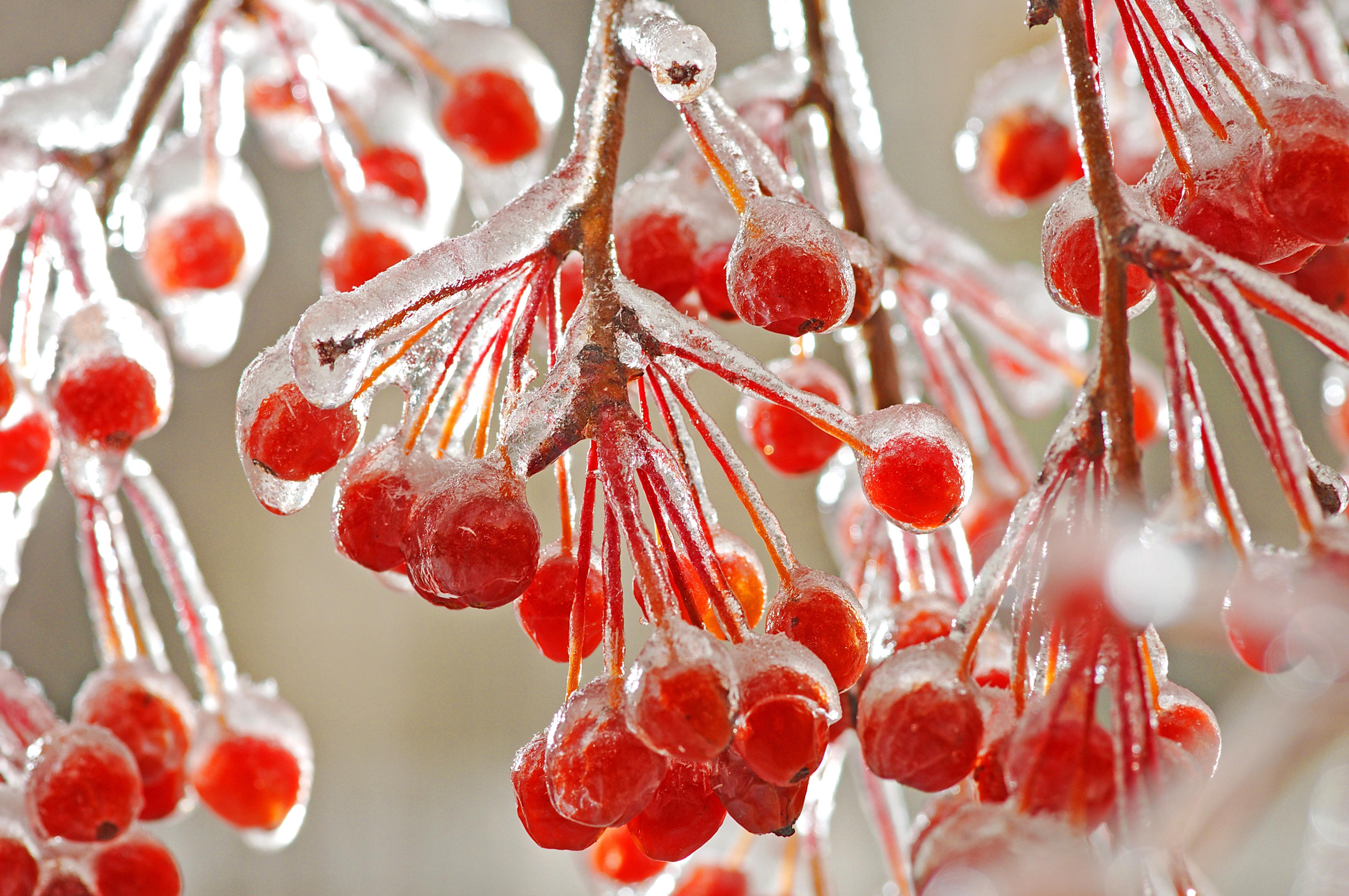 природа мороз рябина зима ветки еда ягоды  № 457092  скачать