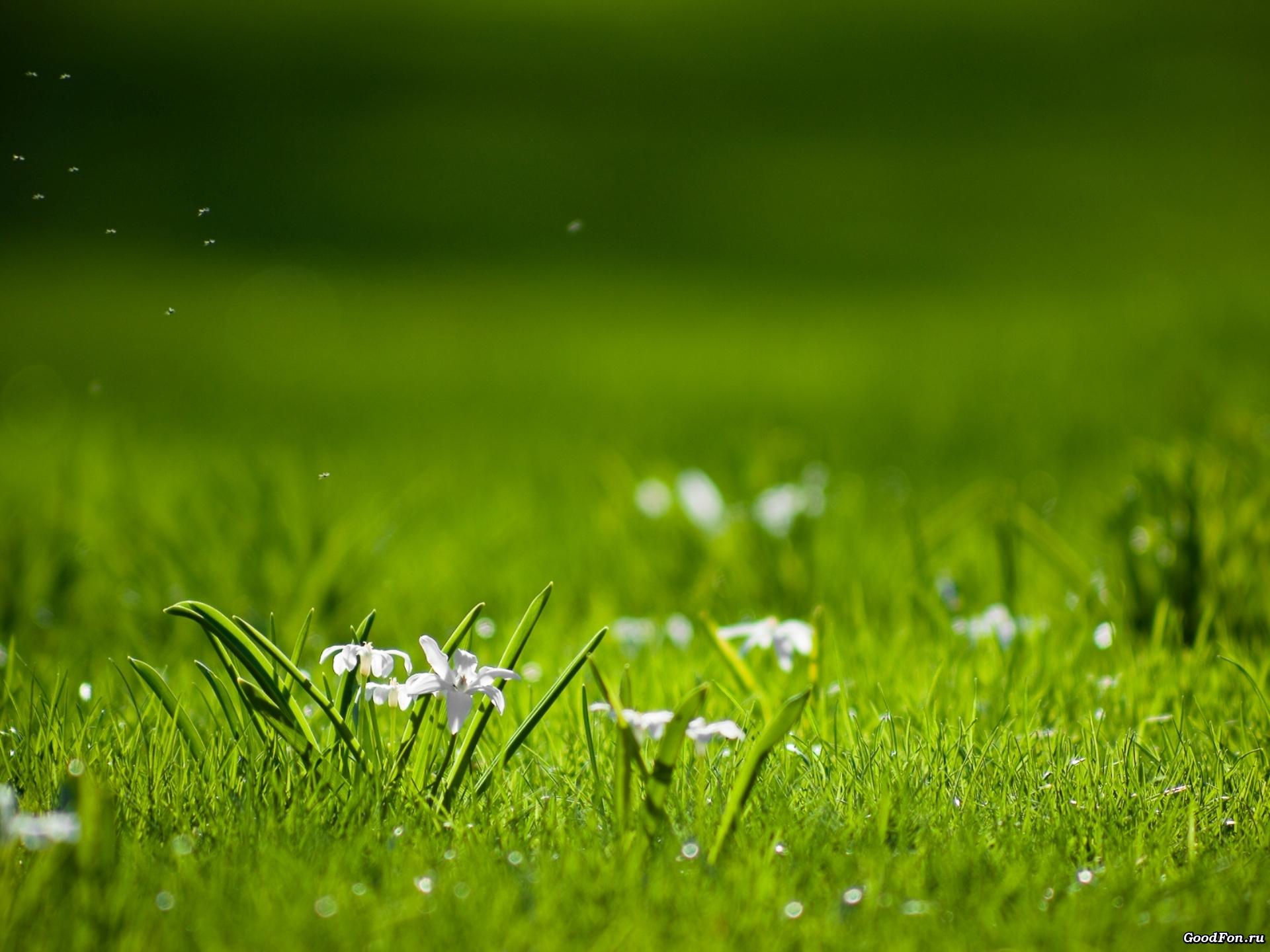 мак трава поляна Mac grass glade бесплатно