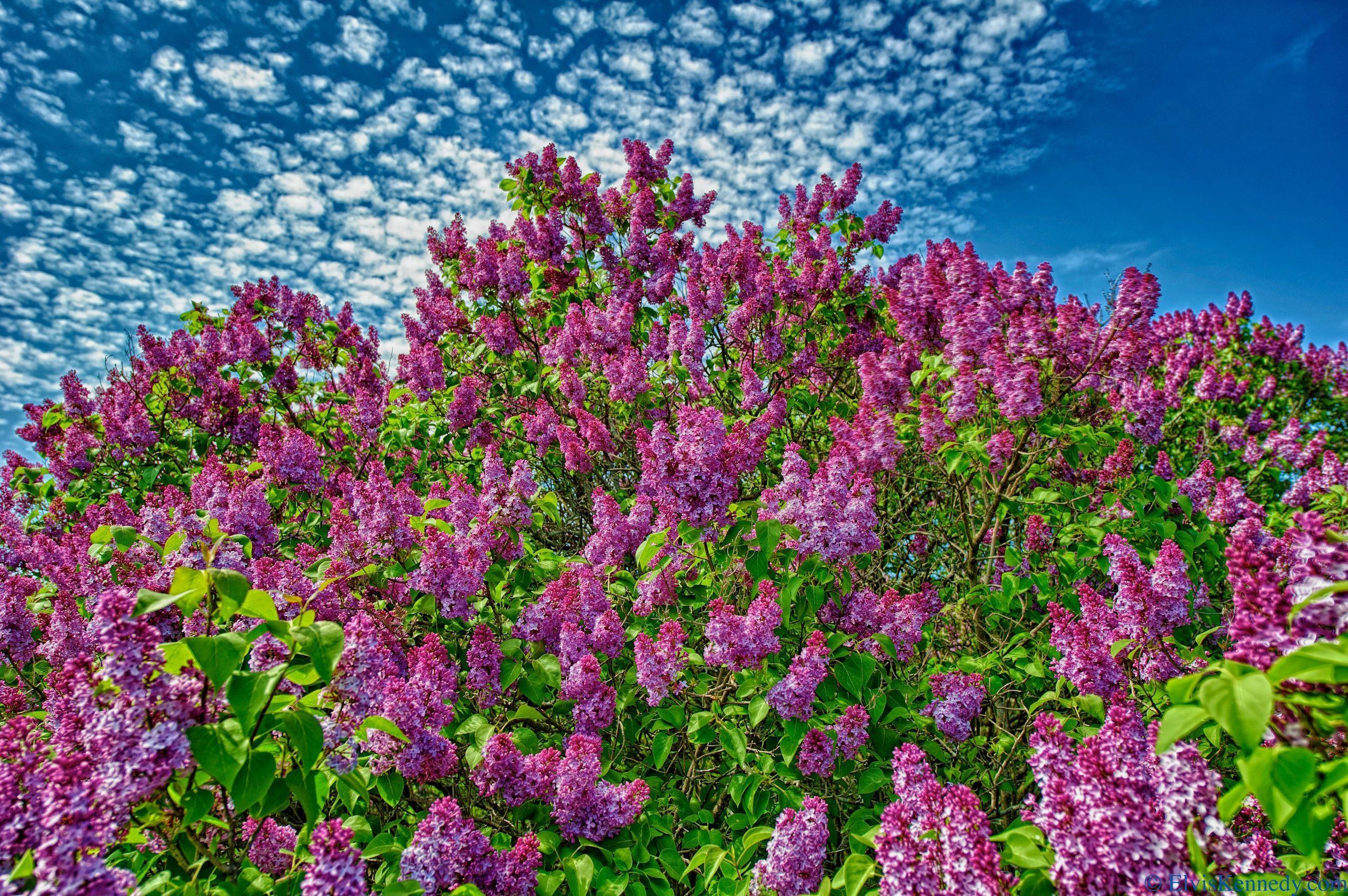 цветы природа сирень  № 2224136  скачать