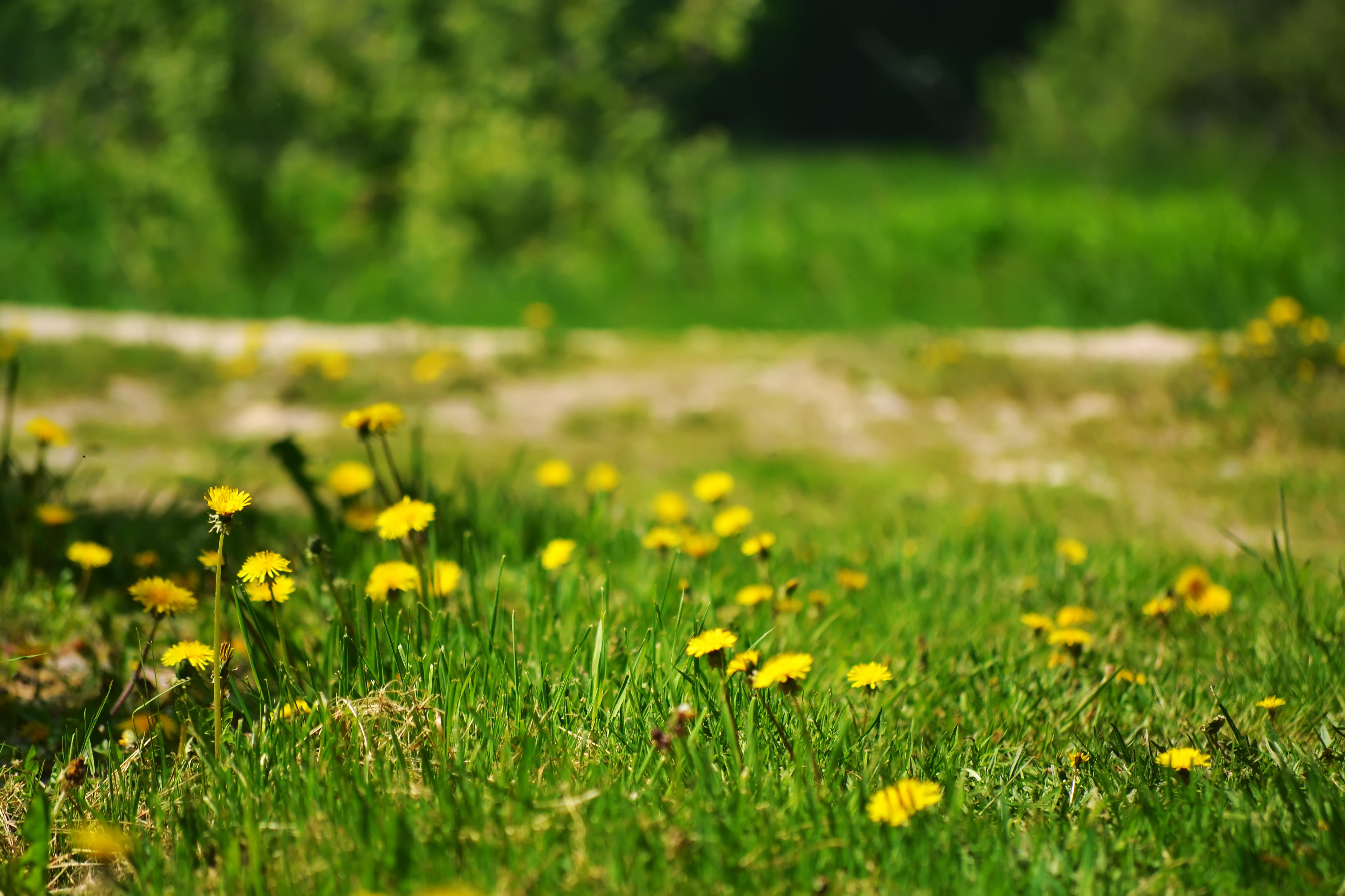 Зеленое поле с одуванчиками скачать